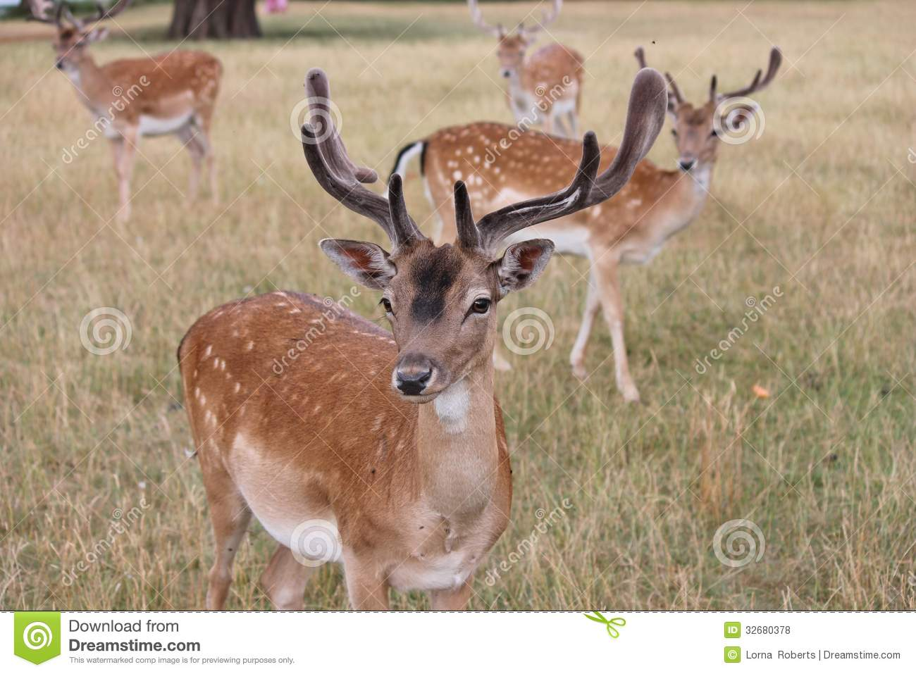 Group fallow stag deer look to camera