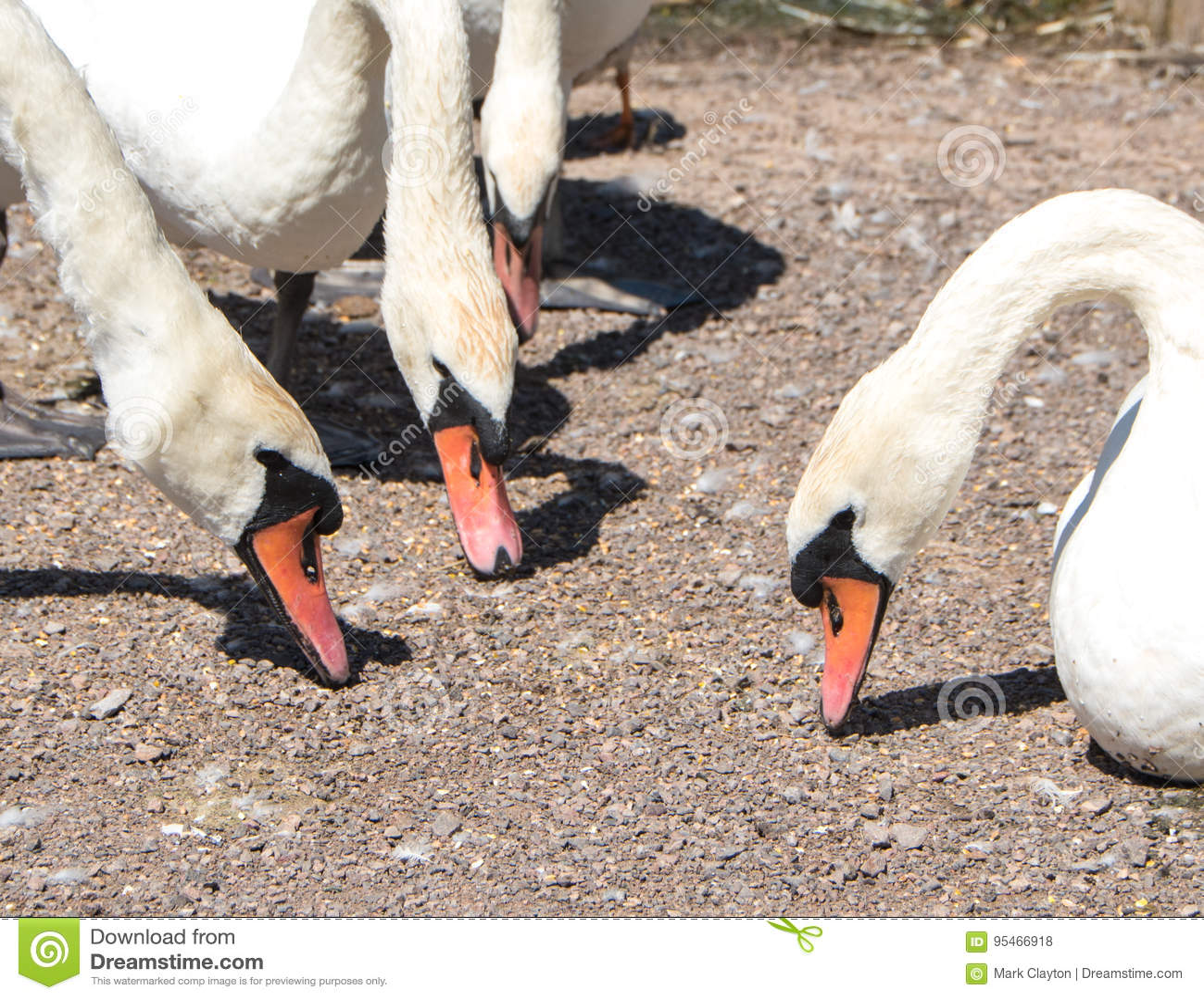 Group of feeding swans