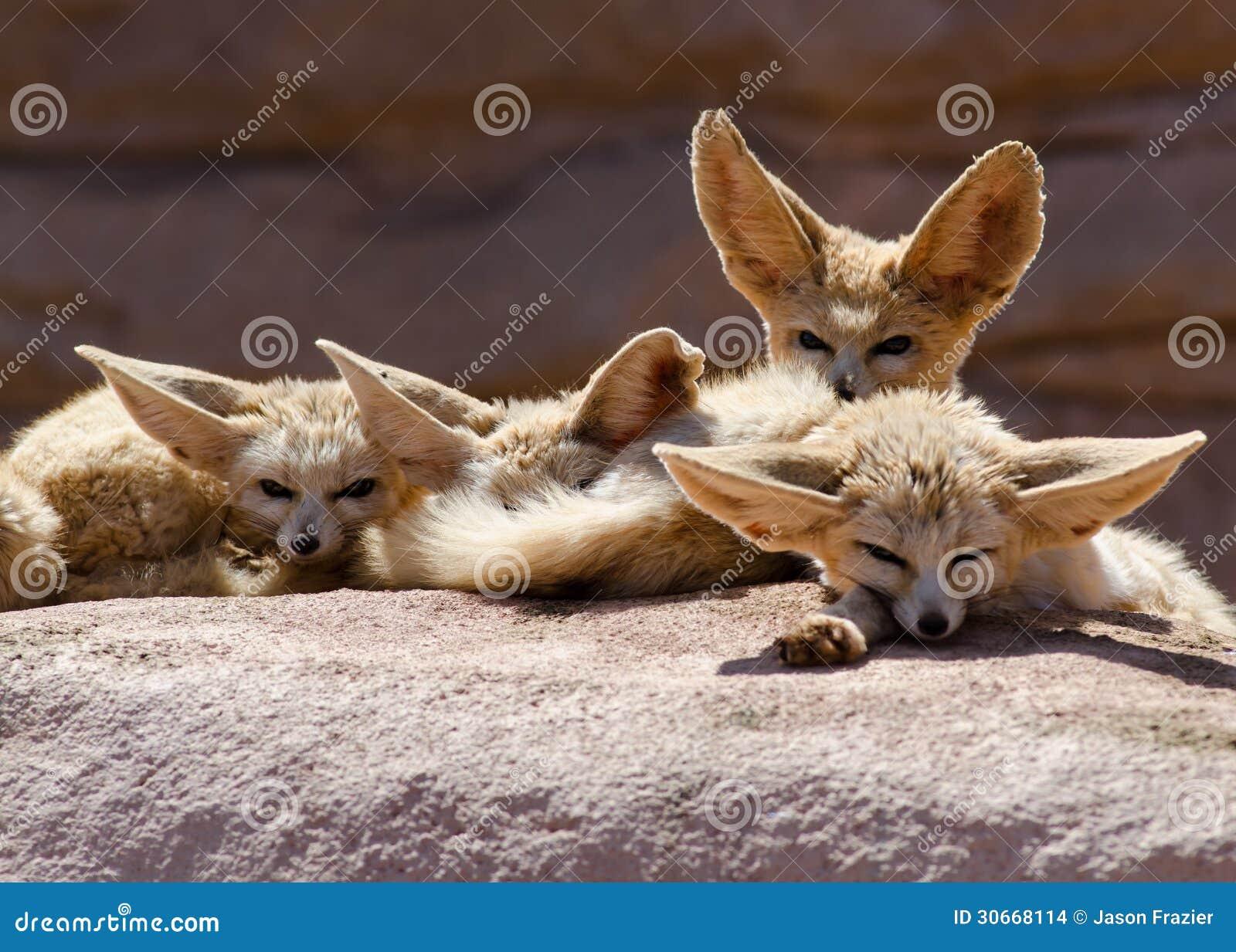 fox wiki rabat Givskud Zoo