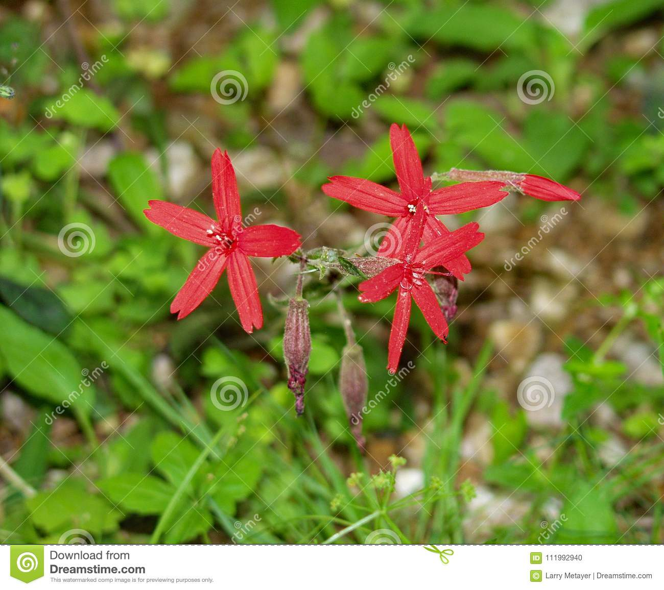 Gruop Fire Pink Wildflowers Silene Virginica Stock Photo Image