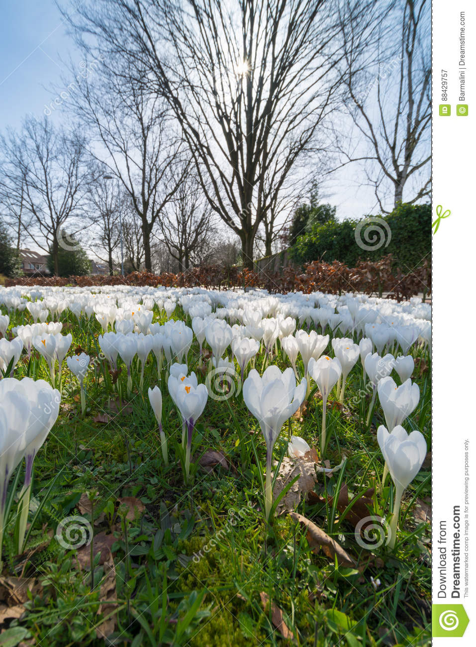 Group of first spring flowers big white crocuses blossom outsi download comp mightylinksfo