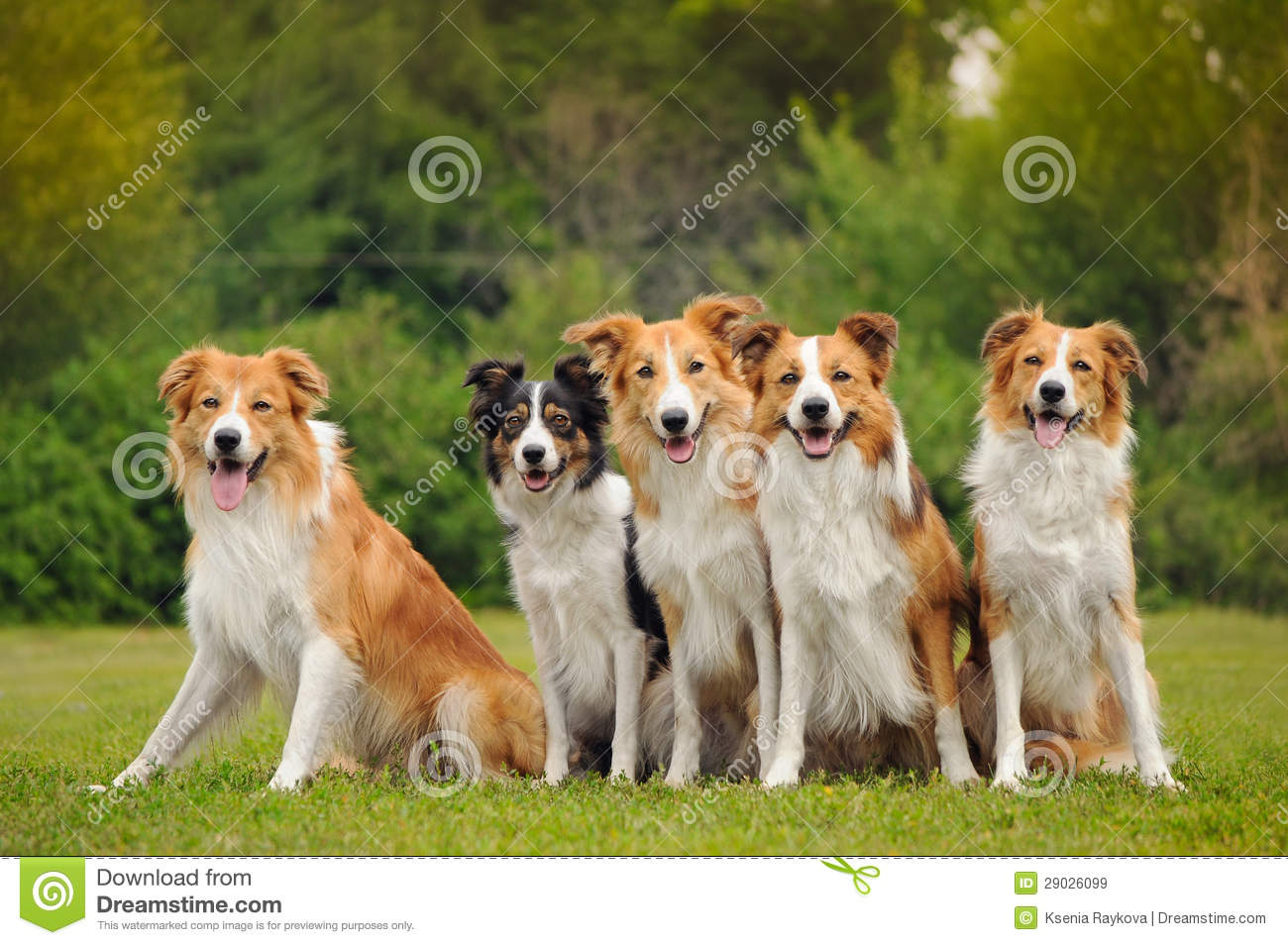 Group Of Five Happy Dogs Border Collie Stock Image - Image ... - photo#32