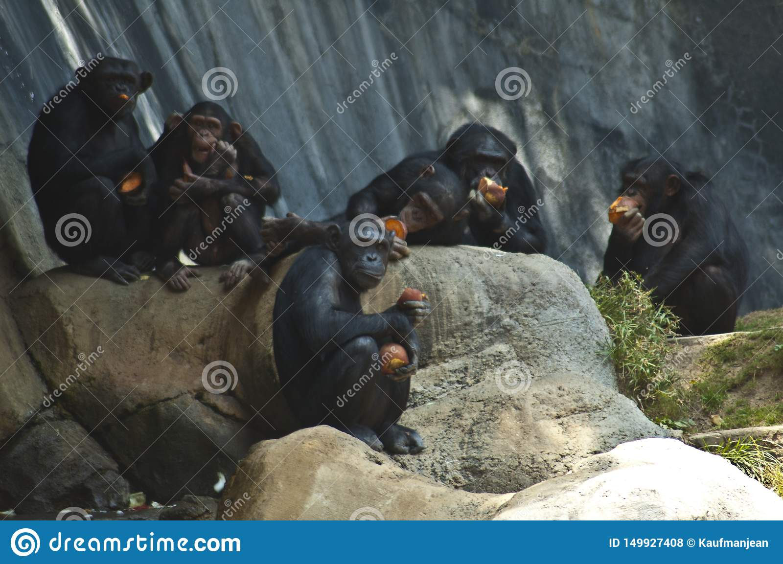 A Group of five Mahale Mountains Chipanzee at LA Zoo chimps hang out on a rock and eat