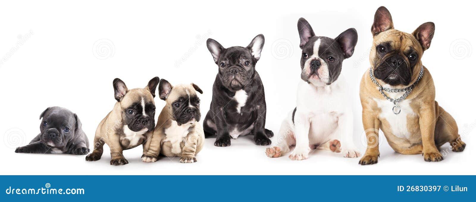 Group of French Bulldo...