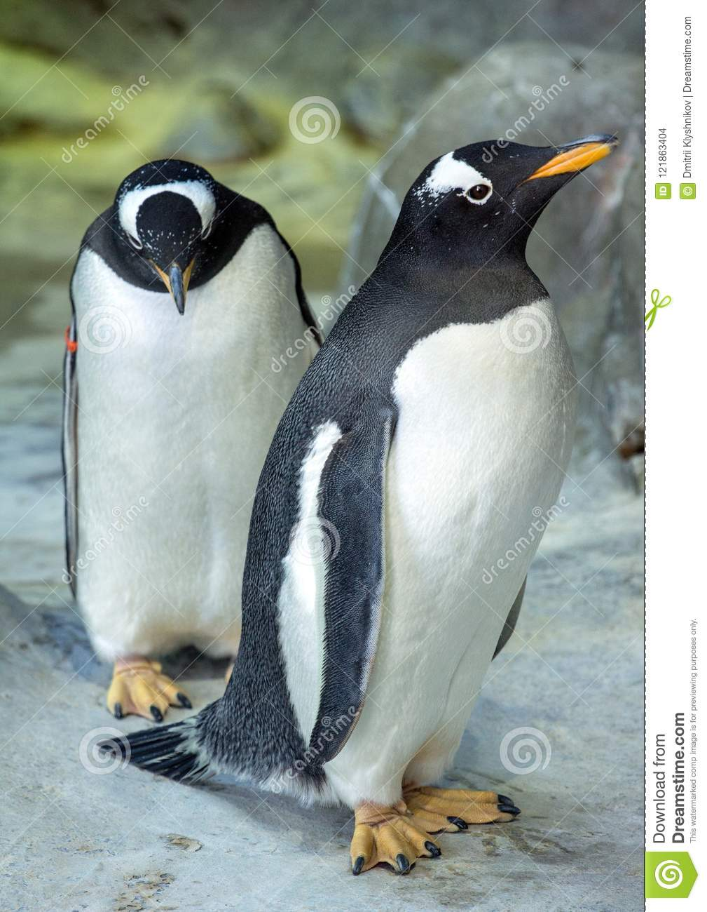 group of gentoo penguins on the rock cute animals close up stock