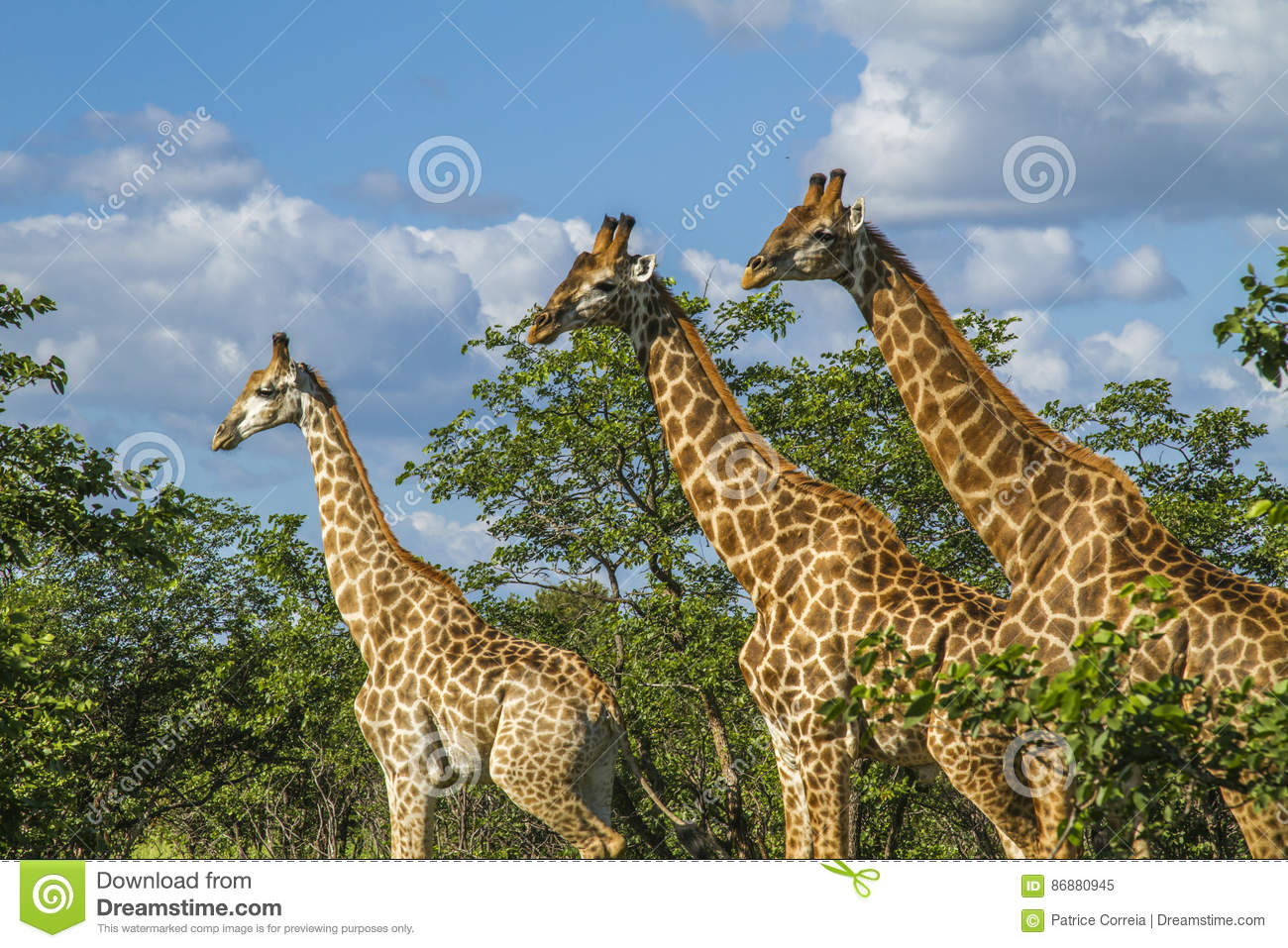Group of giraffes in the bush in Kruger Park, South Africa