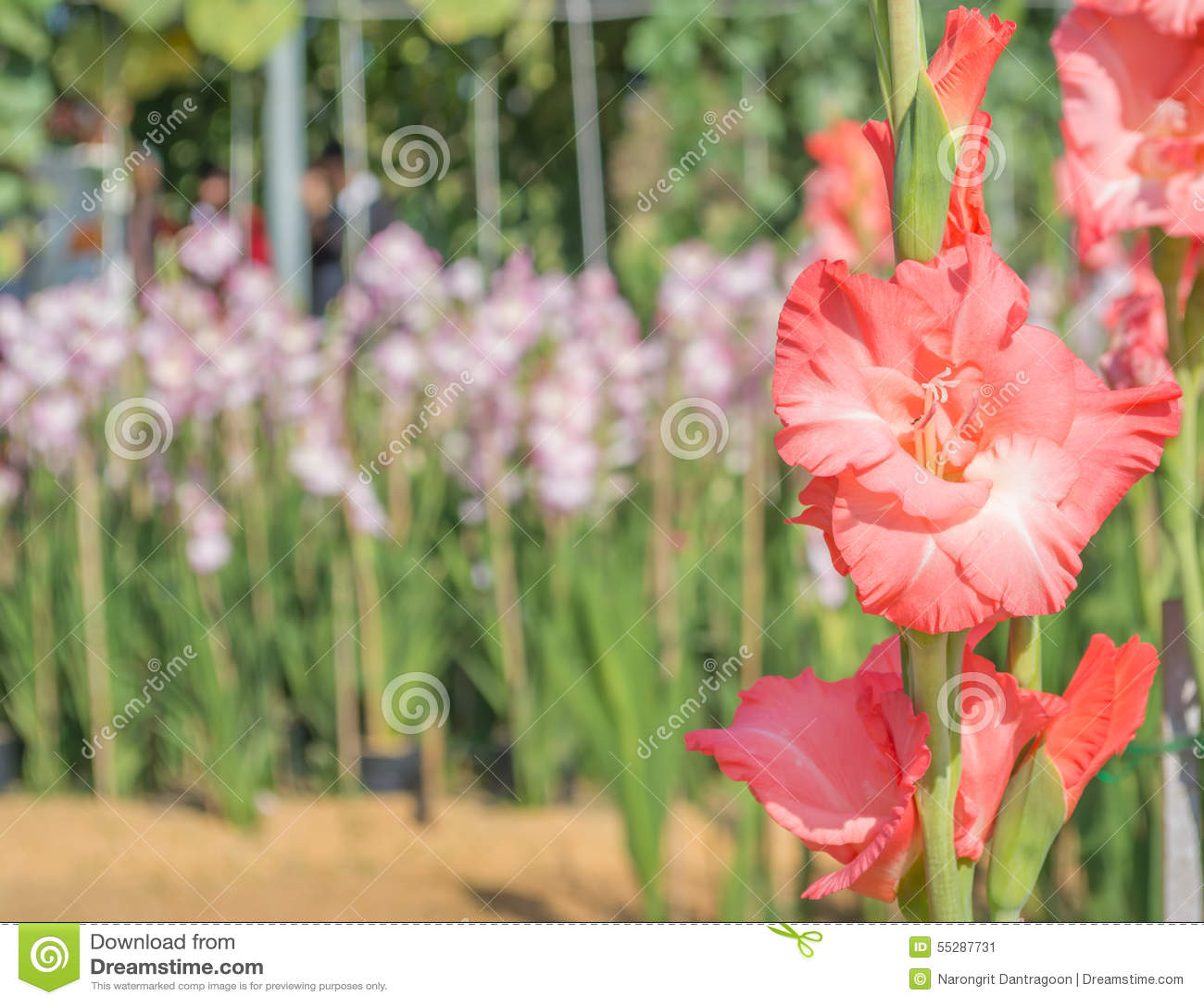 Group Of Gladiolus Flower Stock Image Image Of Blossom 55287731