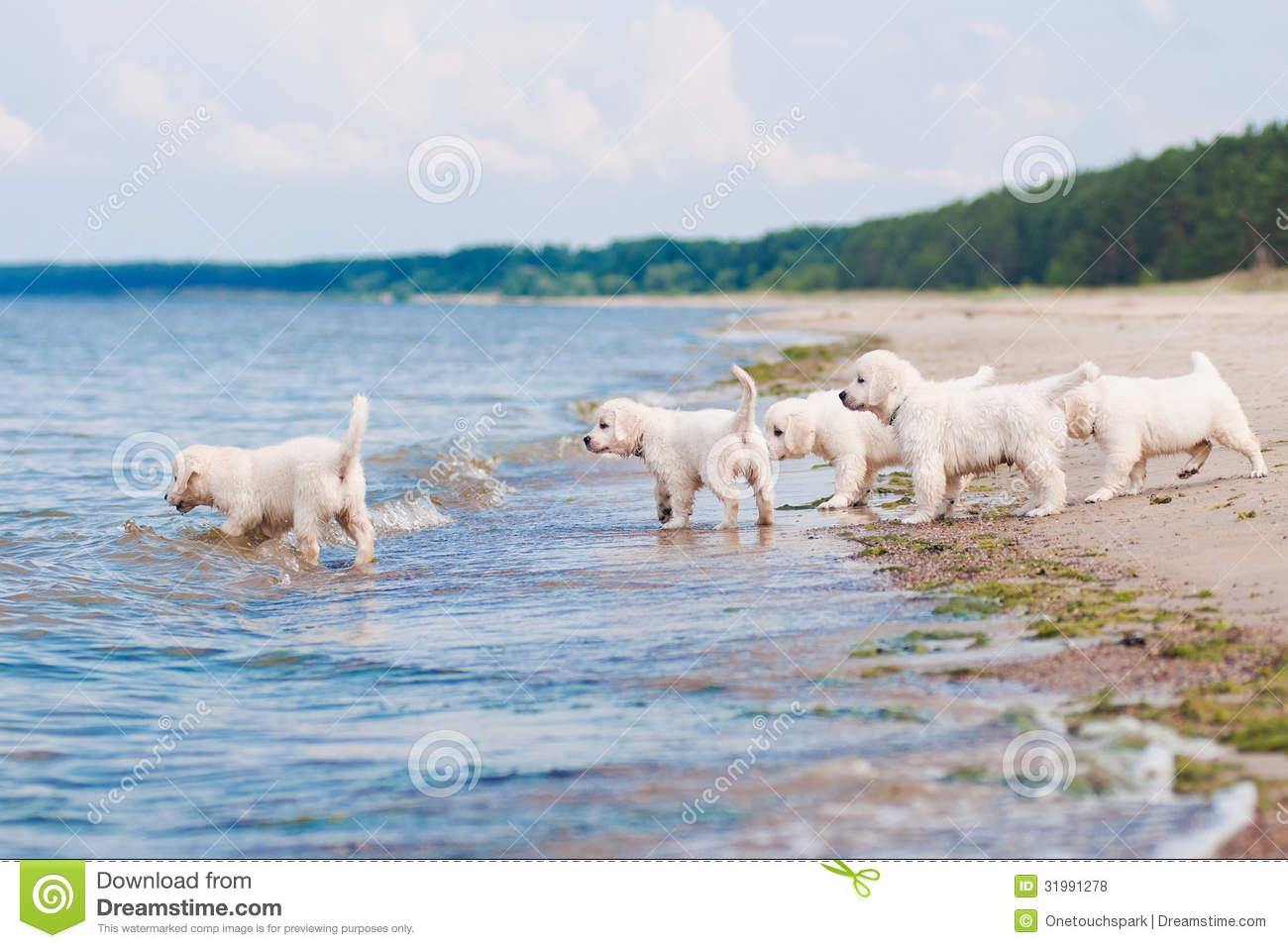 Group Of Golden Retriever Puppies At The Sea Stock Photo Image Of