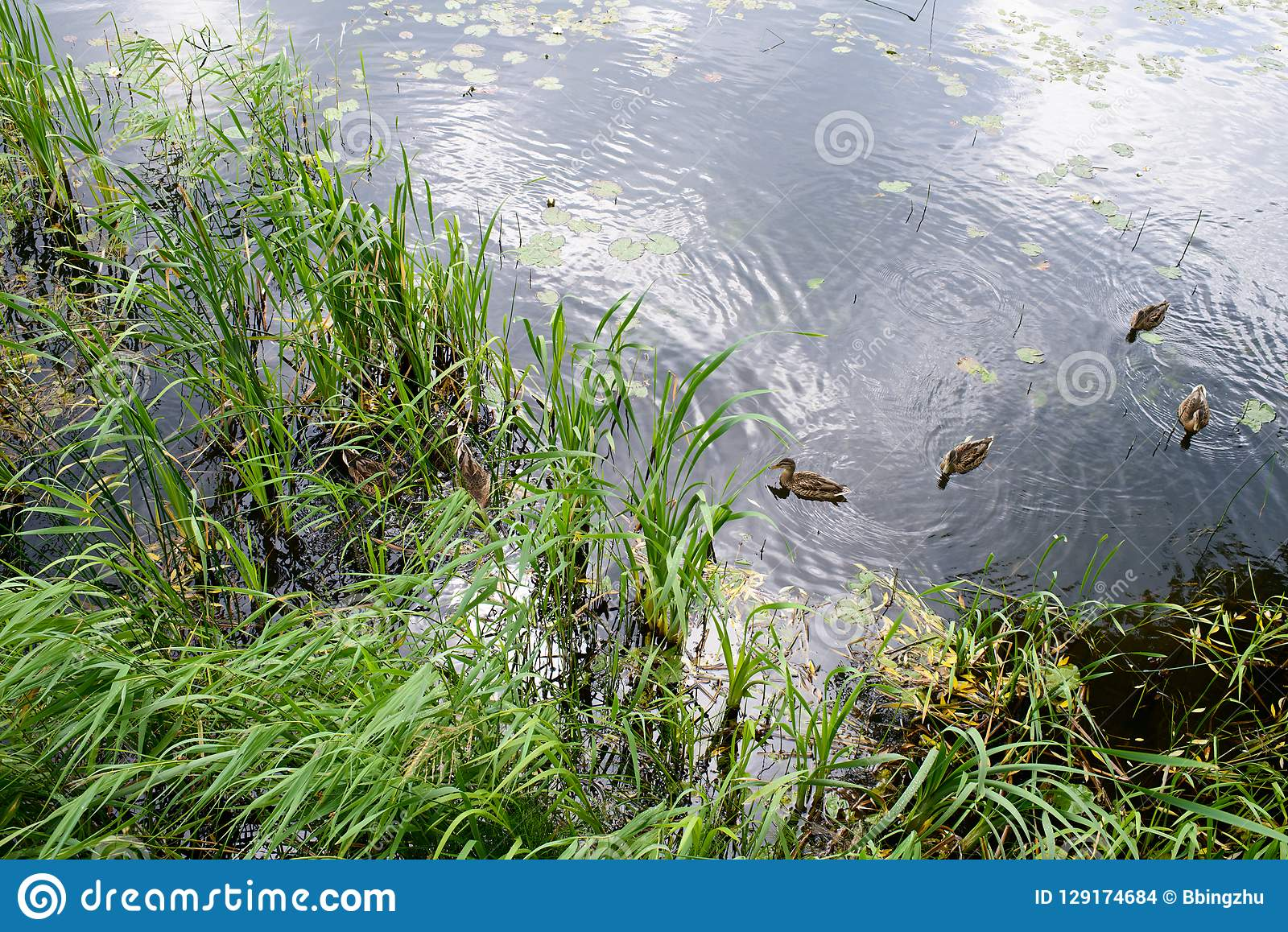 A group of green headed ducks