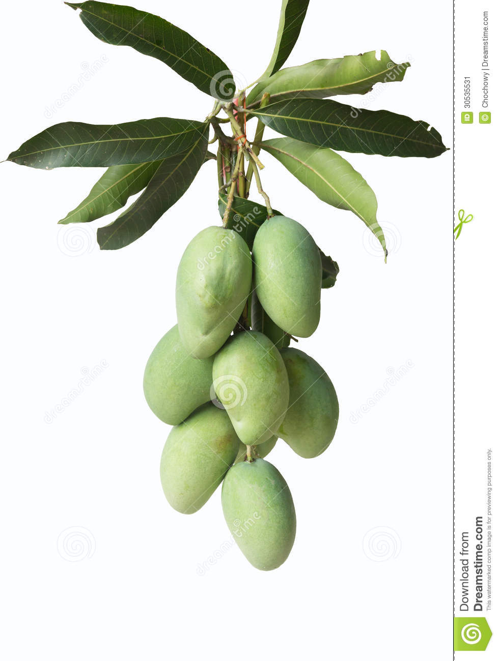 group of green mangoes stock image image 30535531