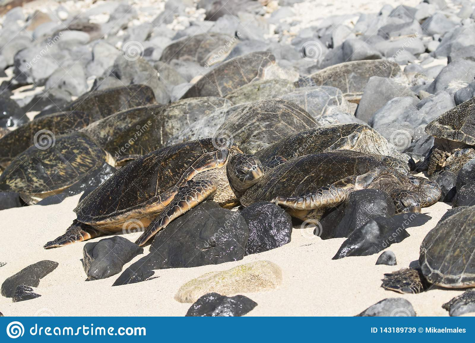 Group of green sea turtles resting on beach in Maui Hawaii