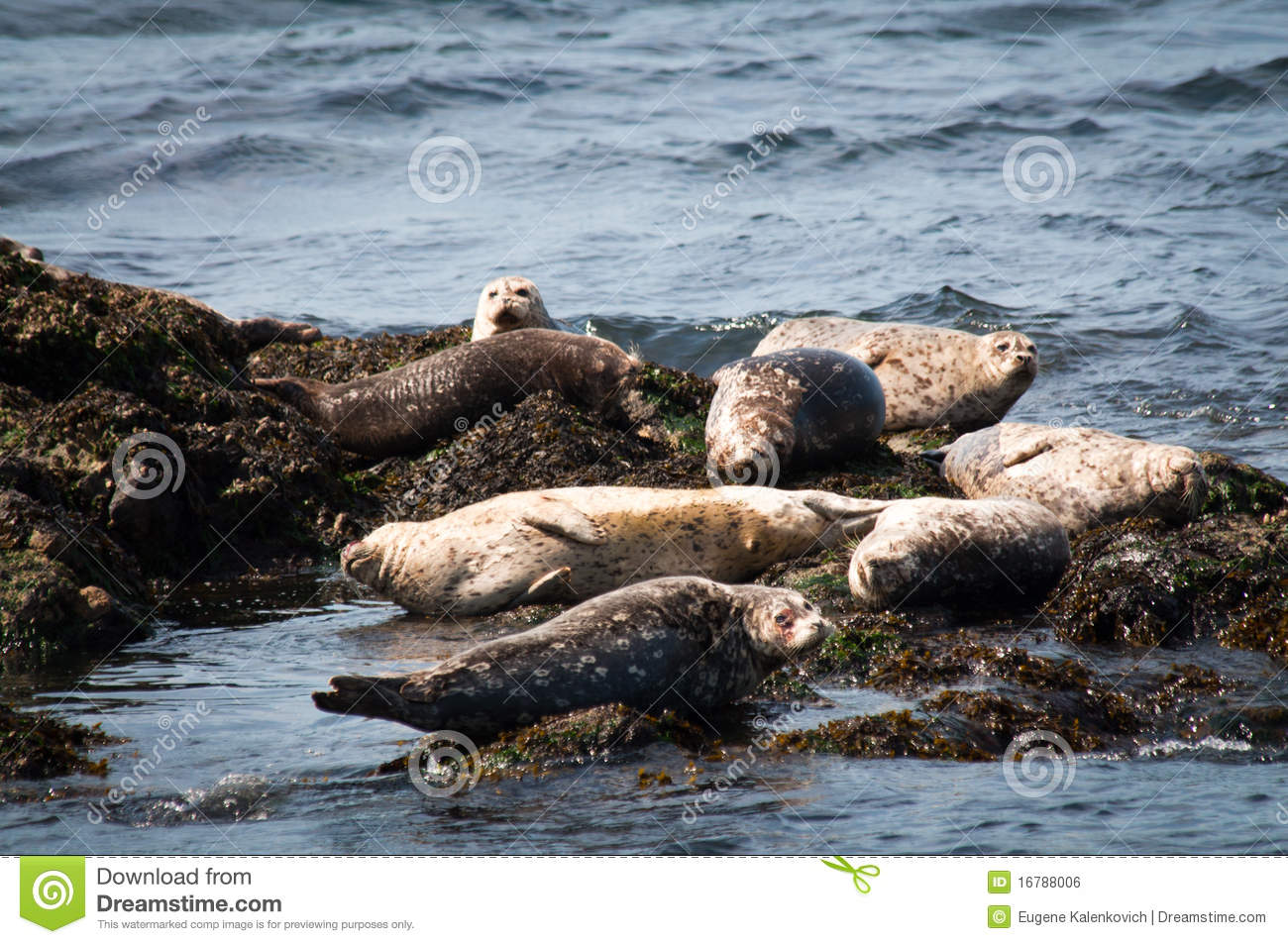 Group of harbor seals on rocks