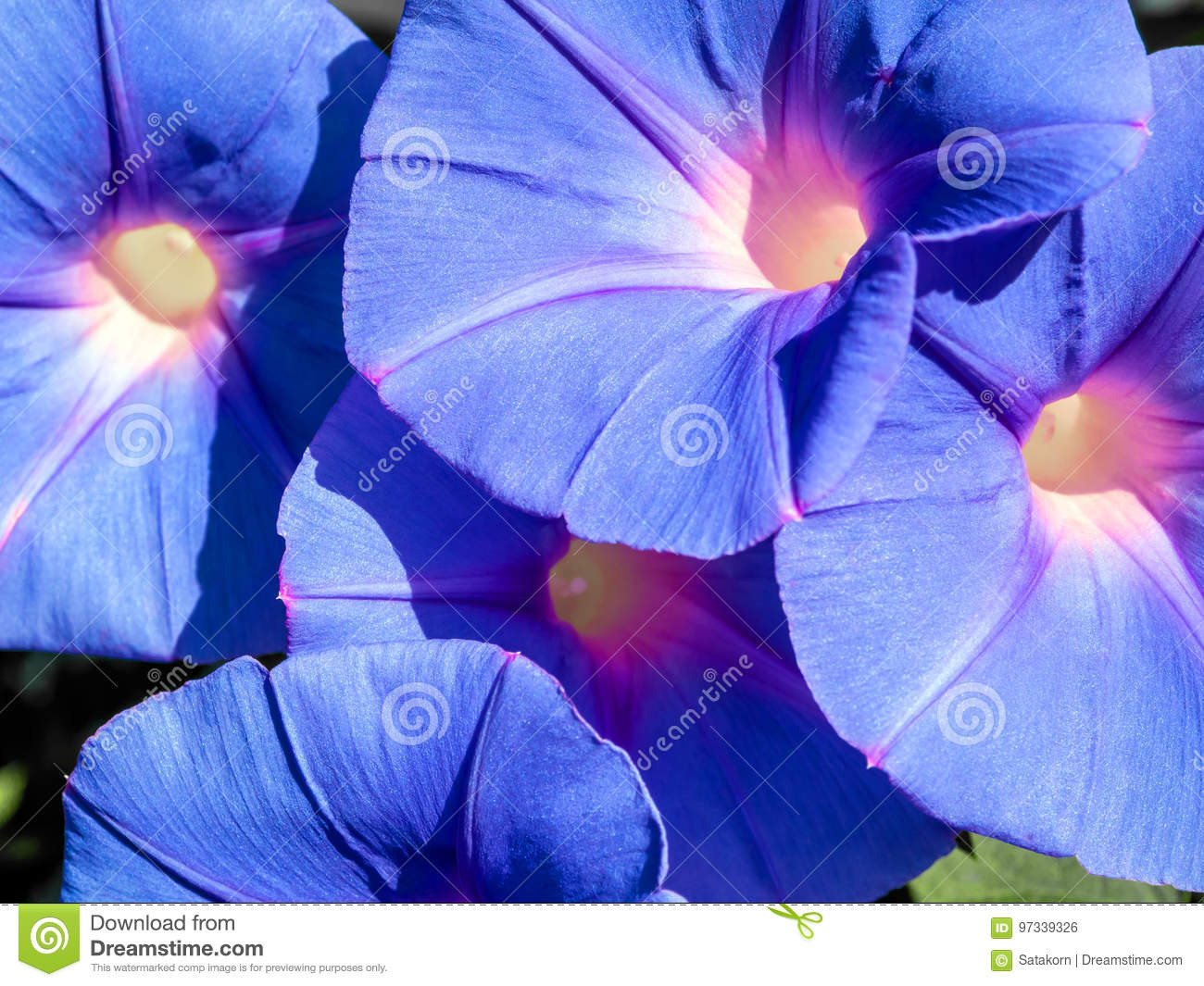 Group Of Ivy Flower Purple Flowers Stock Photo Image Of Tropical