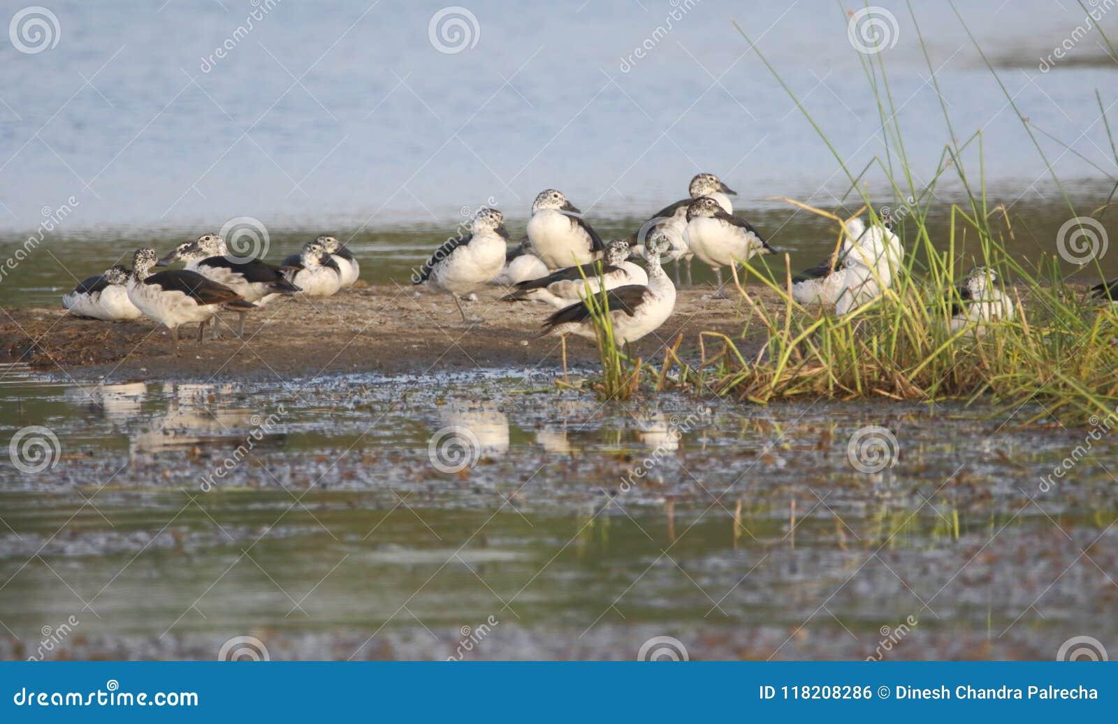 Group of knob bill duck bird