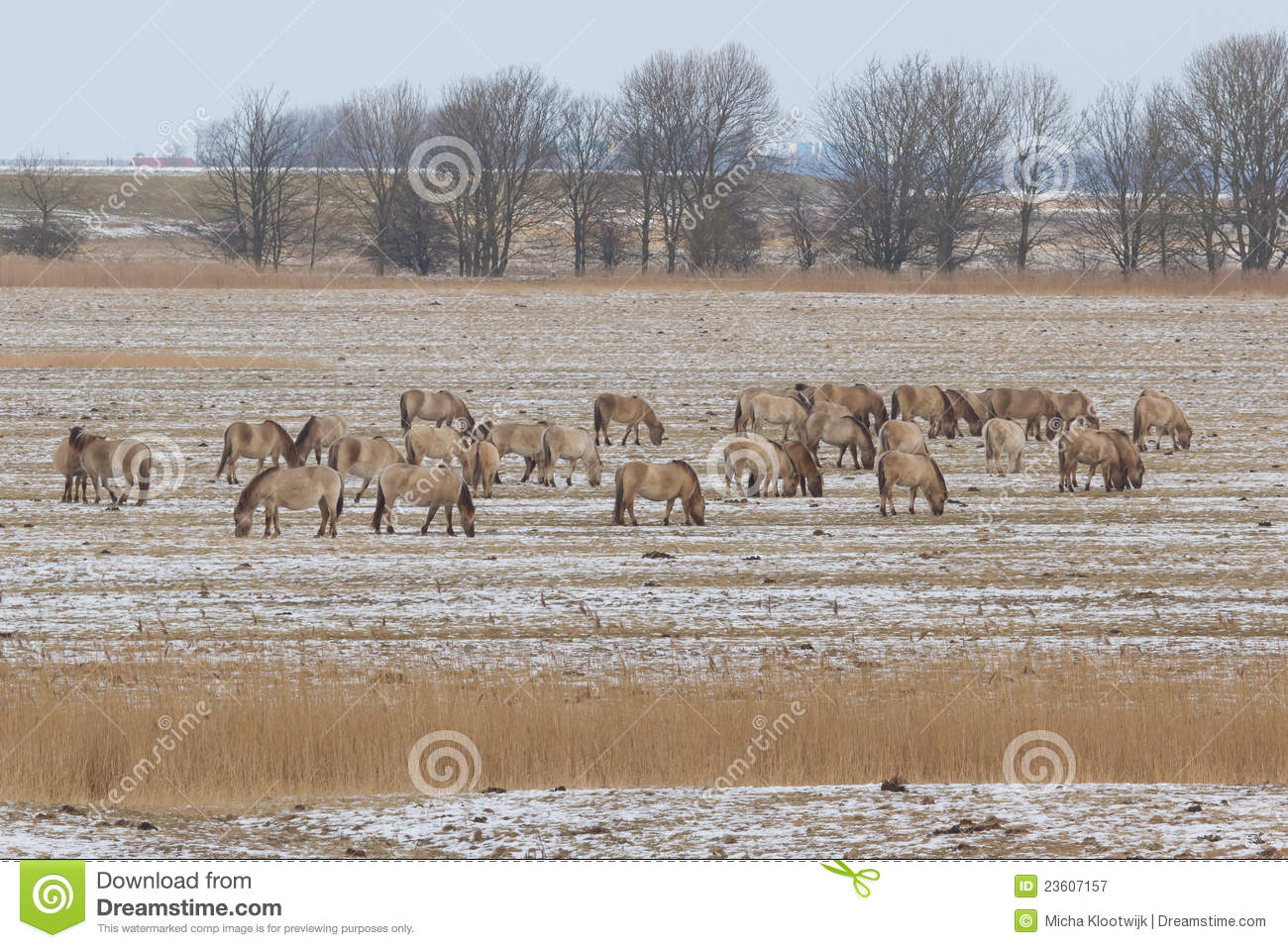 A group of Konik horses