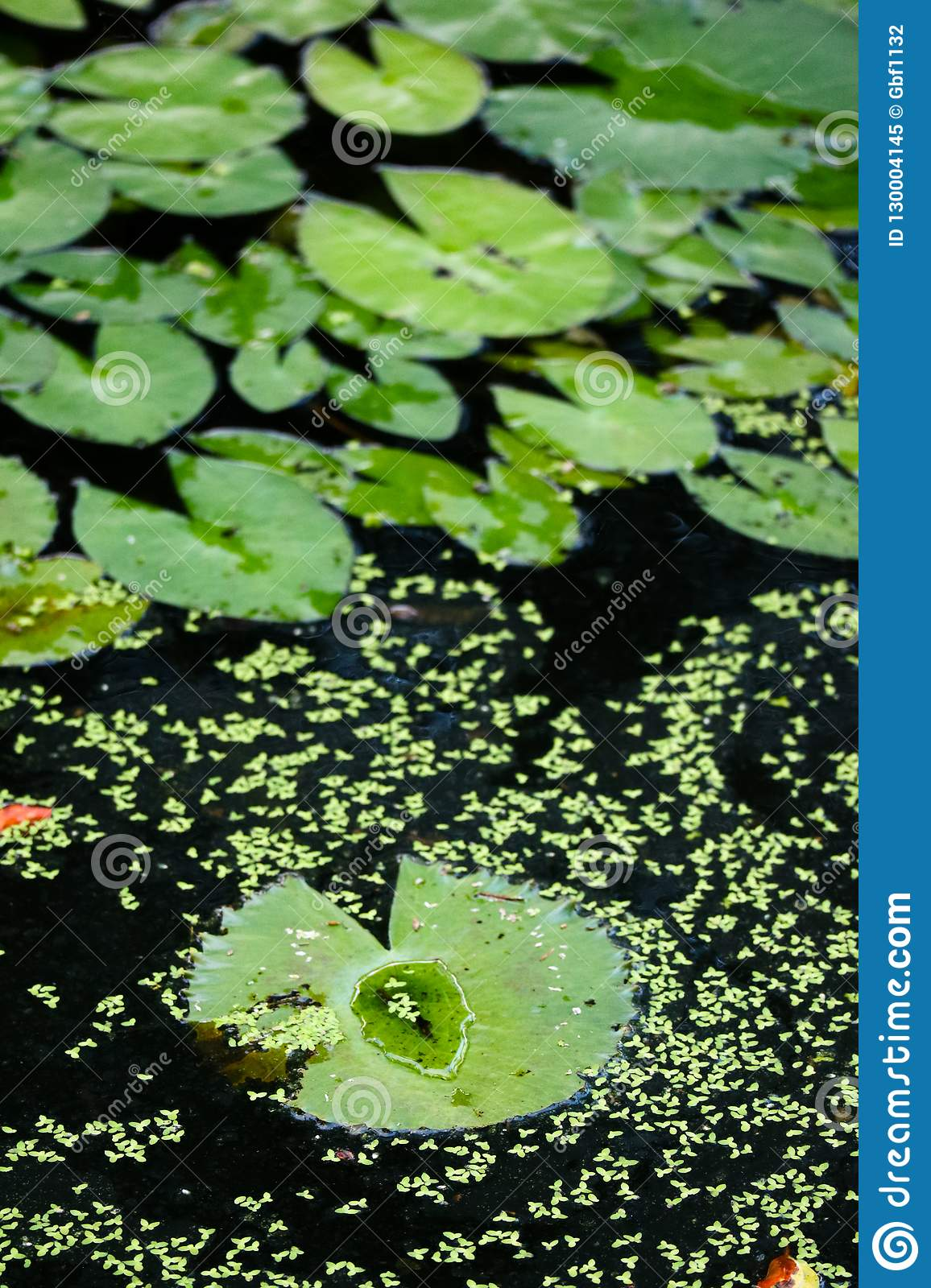 A group of lively lotus leaves on the pond