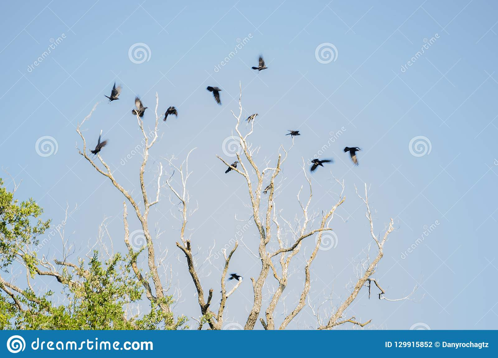 Group of many crows flying over a large dry tree, background of a clear blue sky.