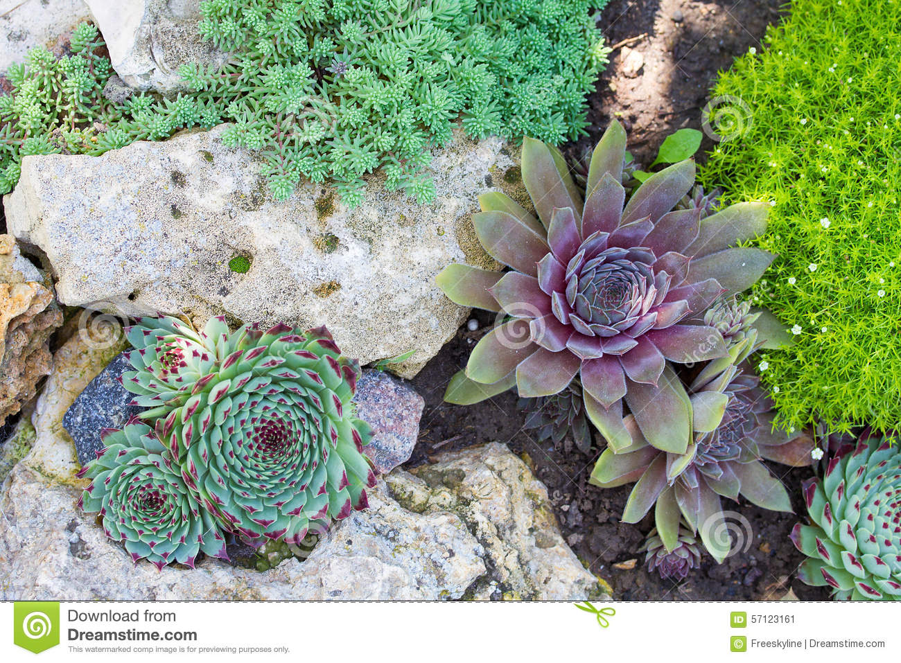 Group of miniature succulent cactus plant in stones in for Canteros de jardin