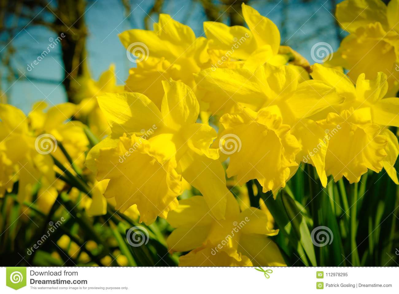 Narcissus or daffodils flowering in spring..