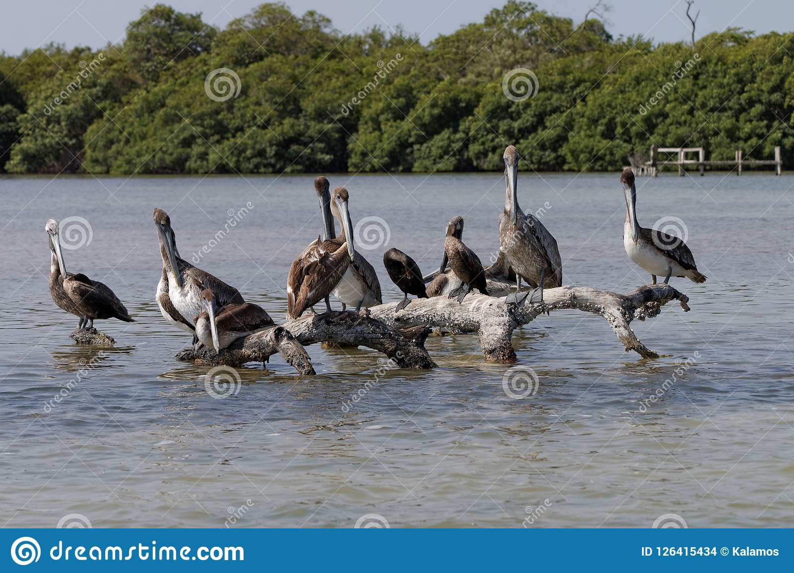 A group of pelicans on a tree