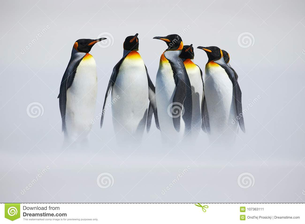 Group of penguin. Group of six King penguins, Aptenodytes patagonicus, going from white snow to sea in Falkland Islands. Penguins