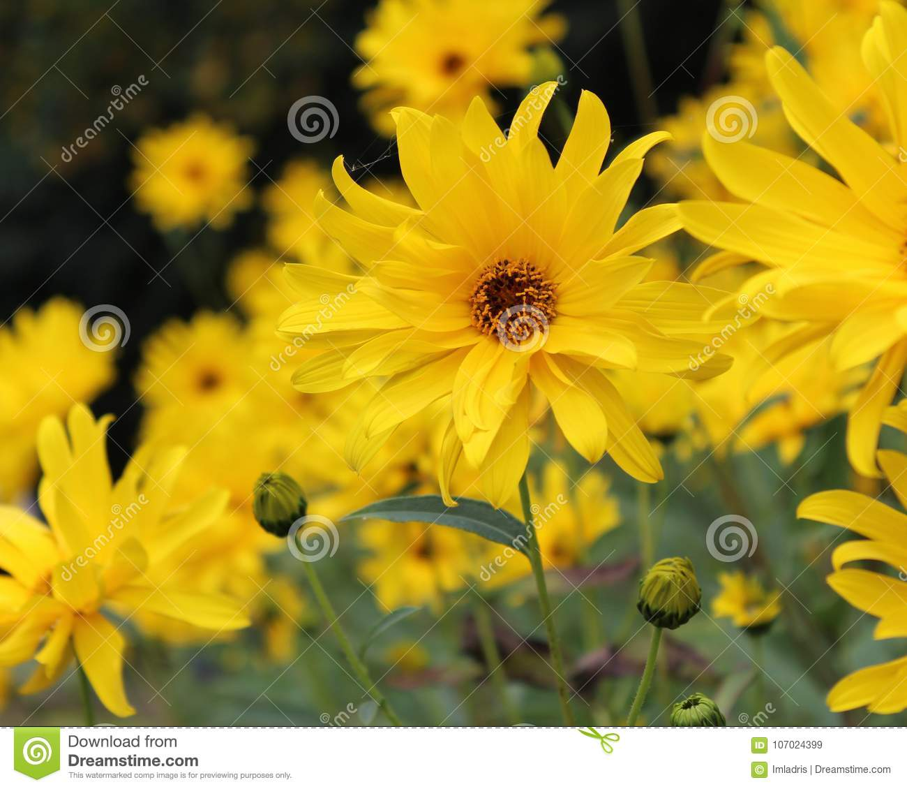 Group of perennial sunflowers stock image image of floral flowers download comp mightylinksfo