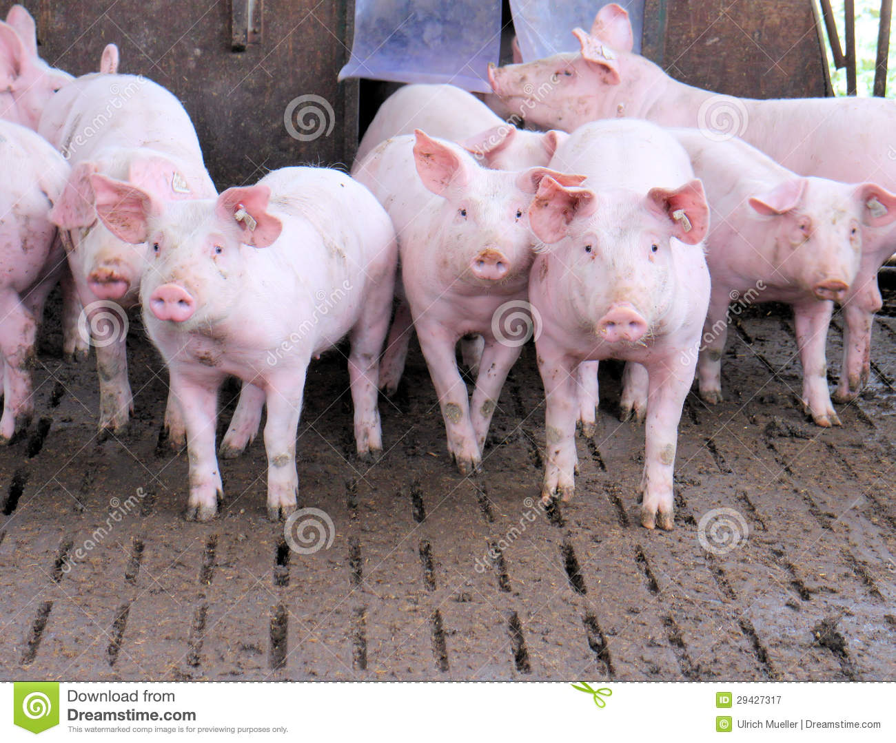 Group Of Pigs Royalty Free Stock Photography - Image: 29427317