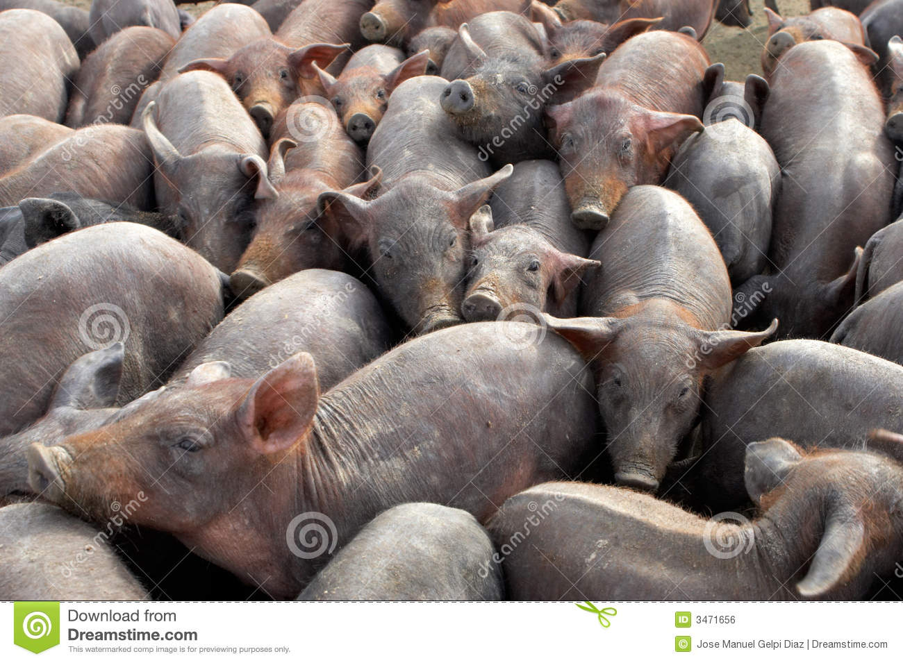 Group Of Pigs Royalty Free Stock Image - Image: 3471656