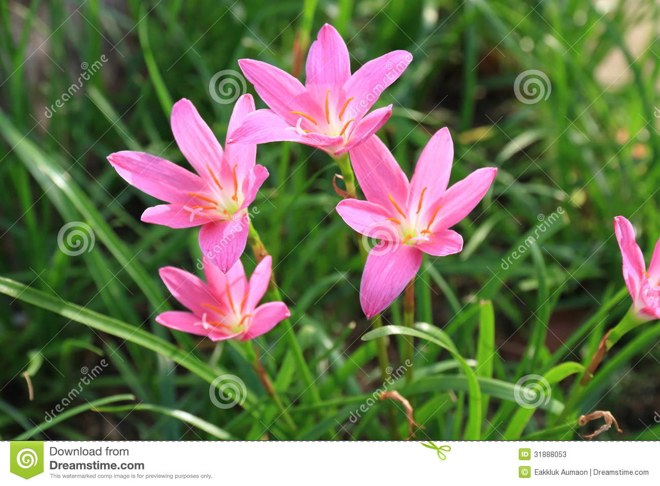 a group of pink rain lily flower  zephyranthes flower  stock image