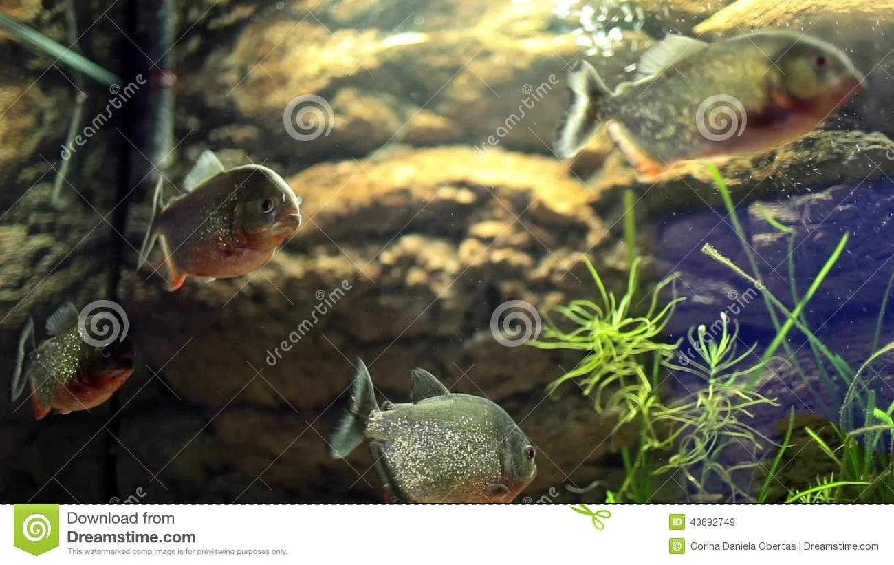 Group Of Piranha Fish Stock Video Video Of Predator 43692749