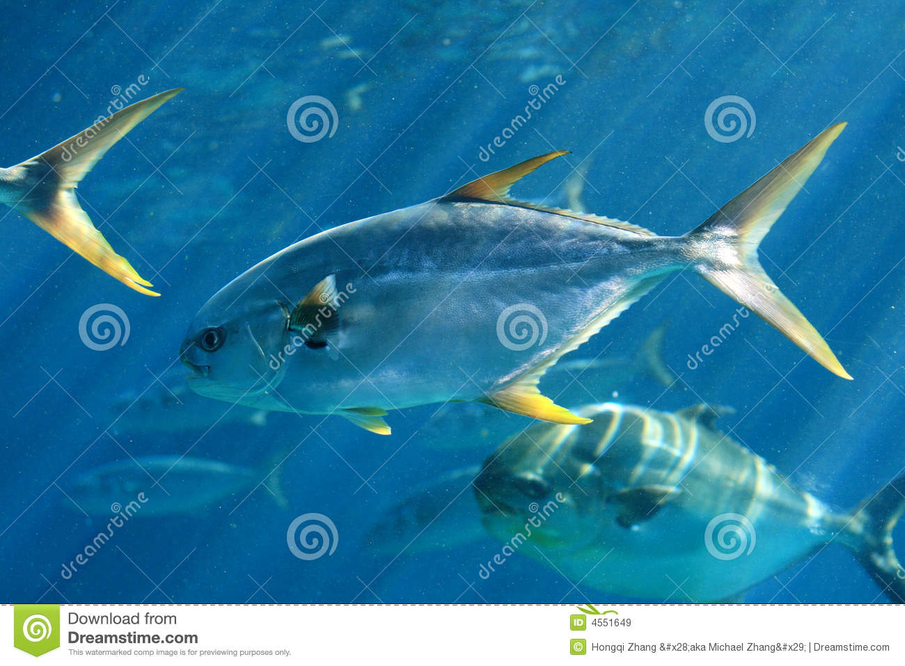 Group of pompano fish royalty free stock images image for Picture of pompano fish