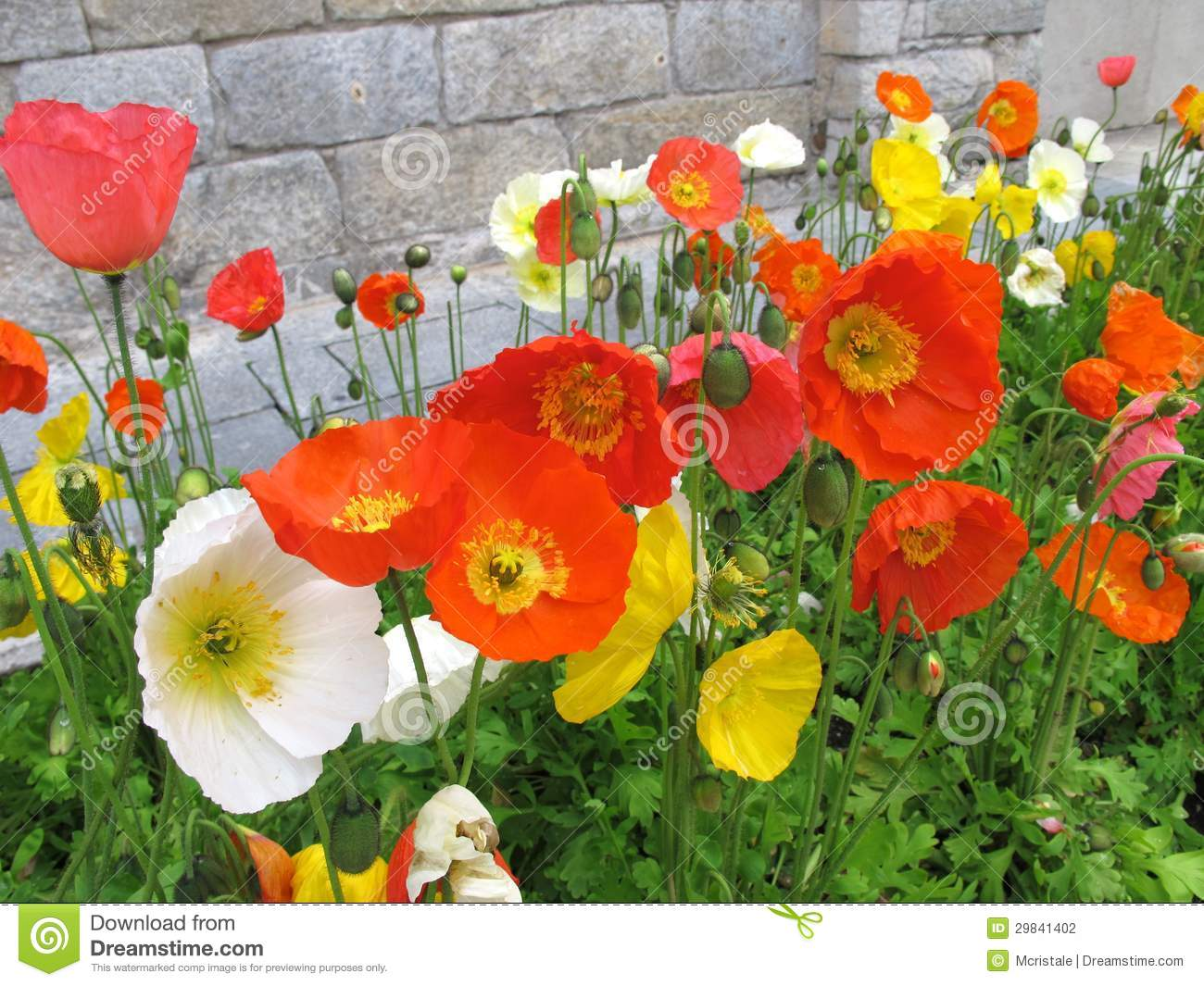 colorful poppies stock photography  image, Beautiful flower