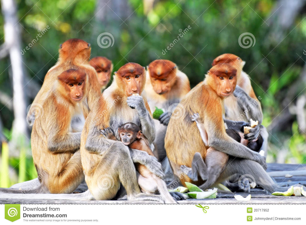Group of proboscis monkeys during the feeding time, national park in ...