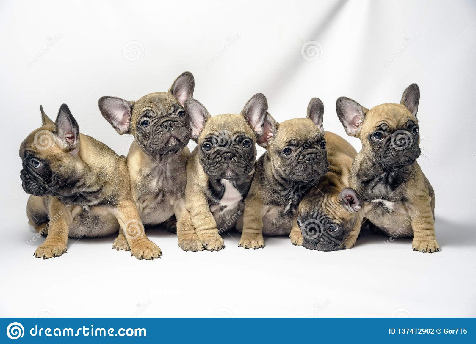 Group Of Puppies French Bulldogs Brown Color Stock Photo Image Of Black Brown 137412902
