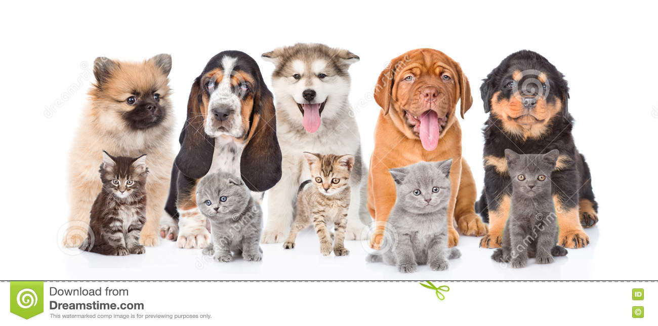 Group Purebred Puppies And Kittens White Background Stock