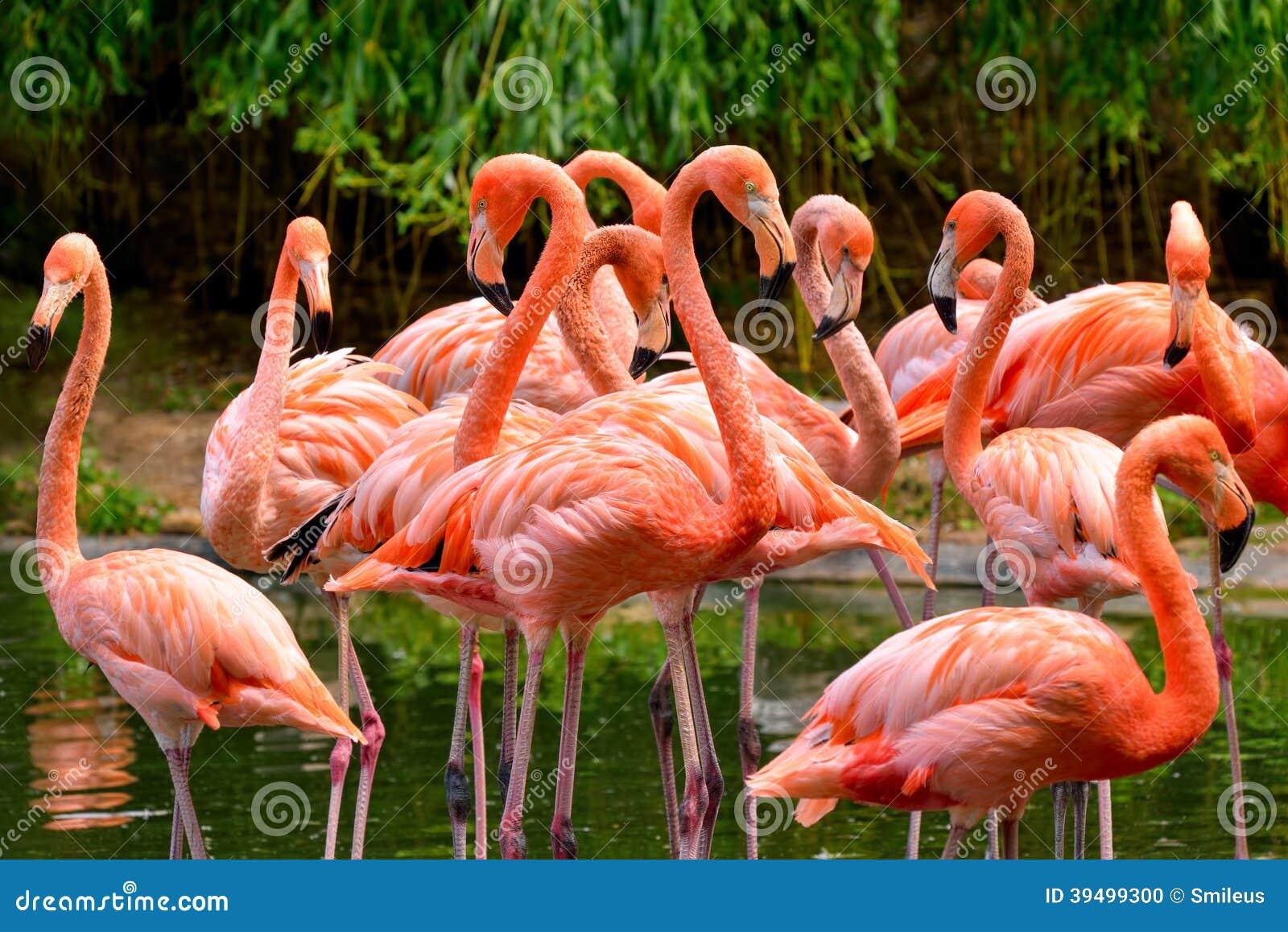 Group Of Flamingos 73