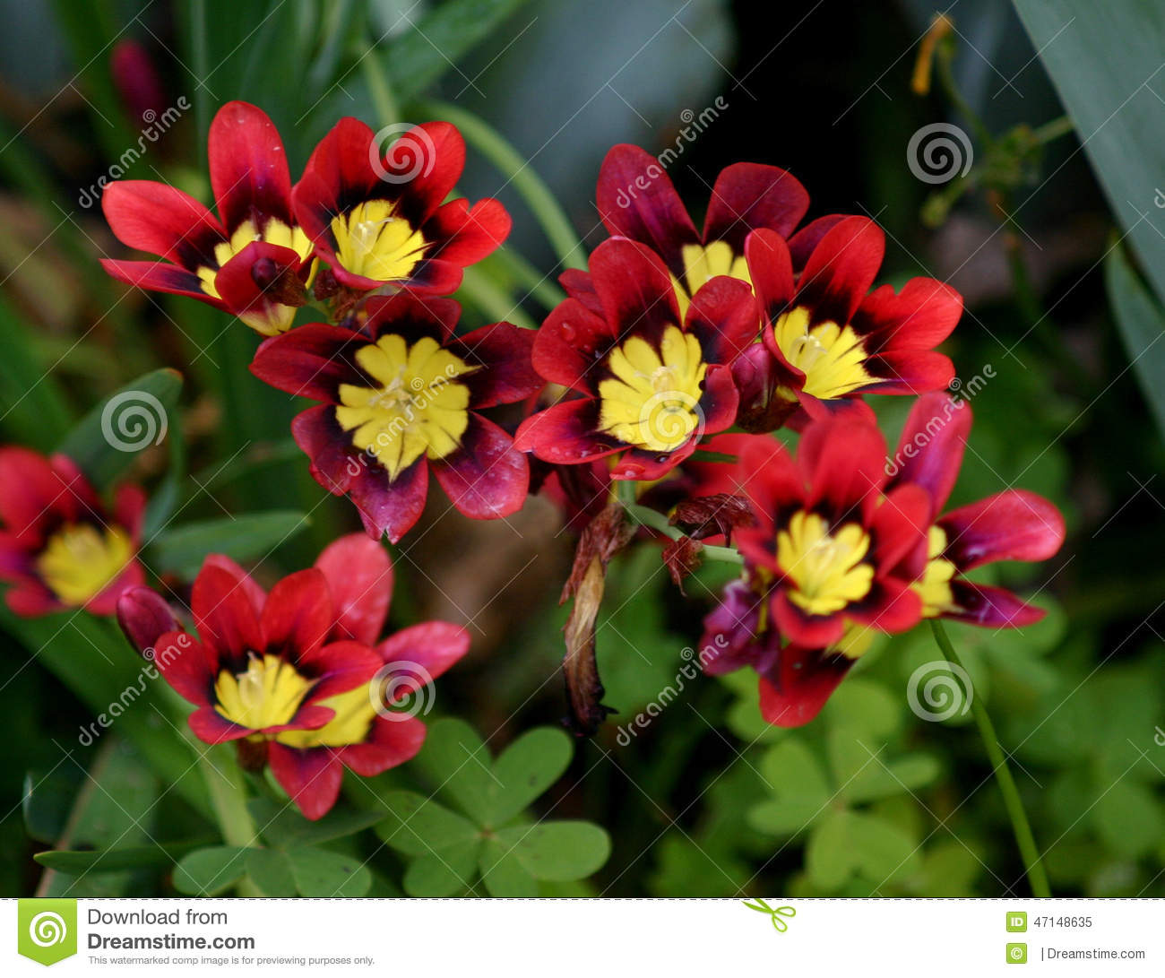 A group of red yellow and black flowers stock image image of a group of red yellow and black flowers mightylinksfo