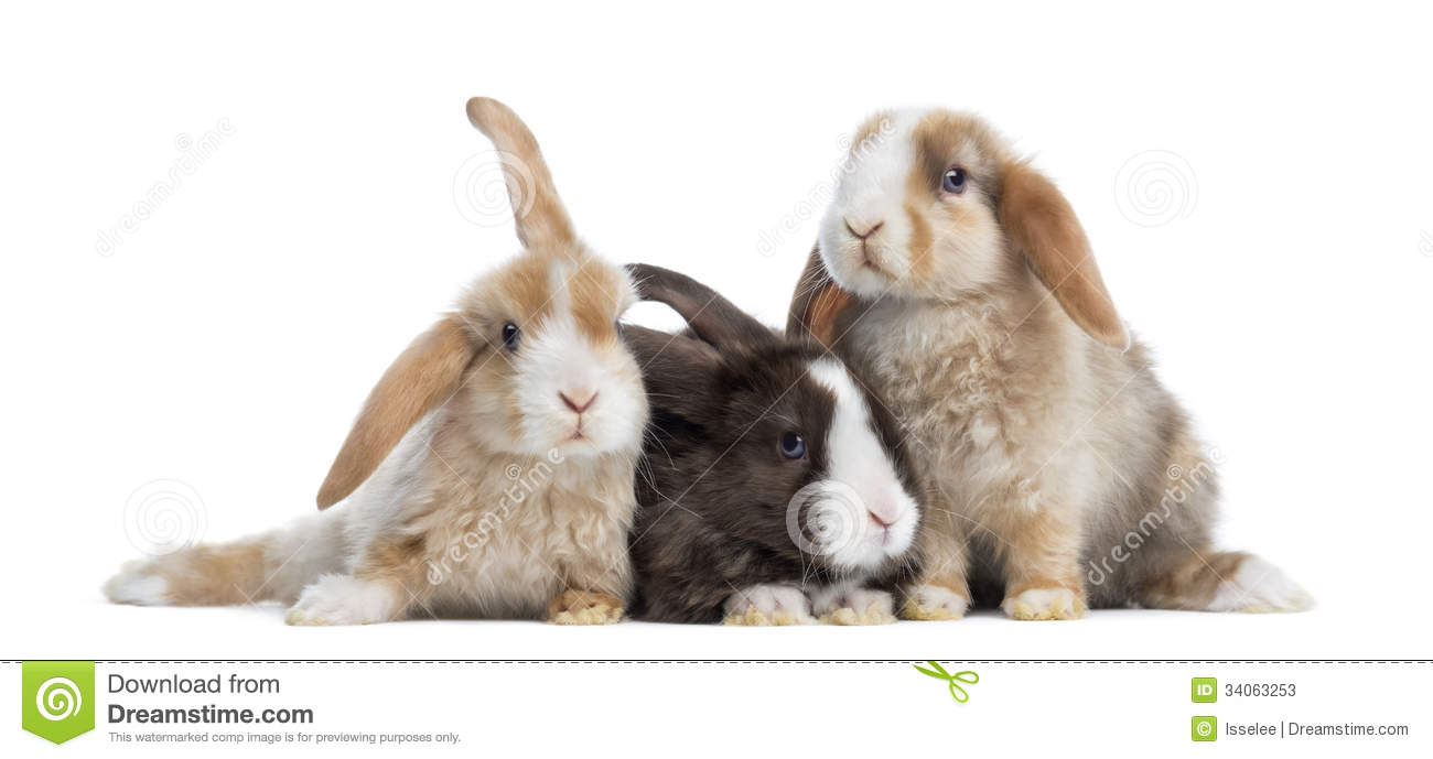 Group of Satin Mini Lop rabbits, isolated