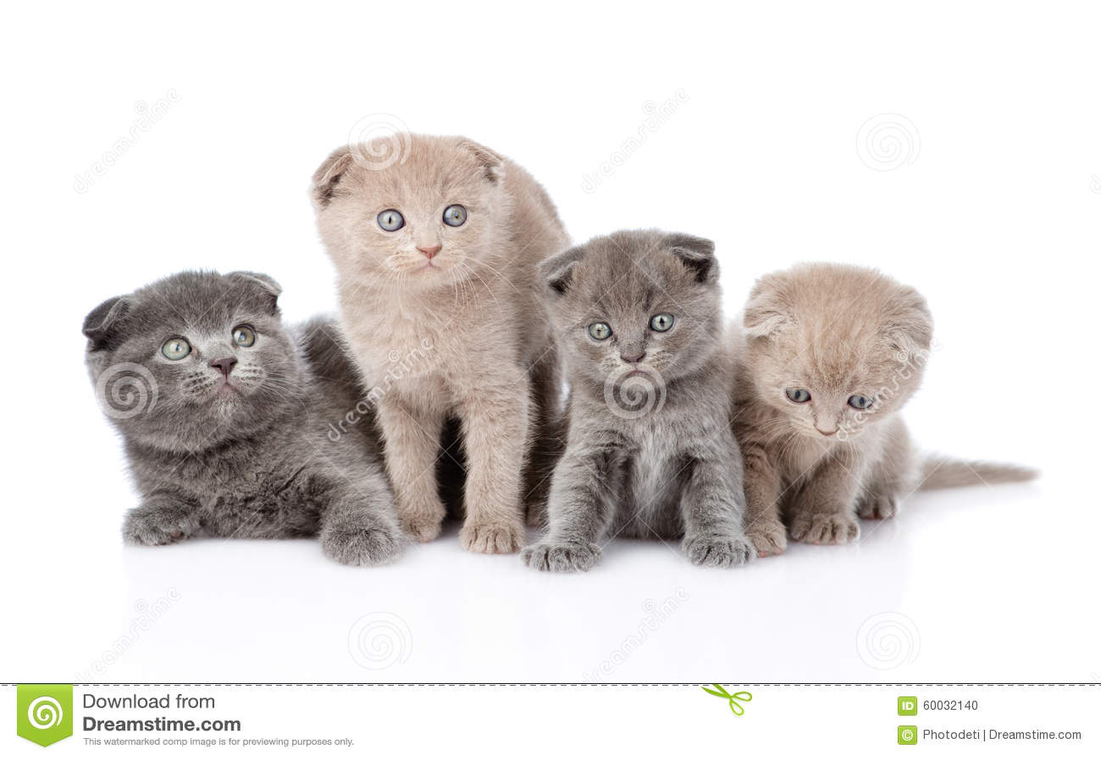 Group scottish baby kittens. isolated on white background