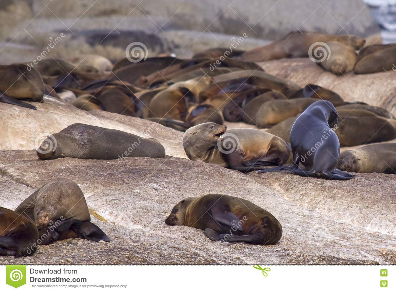 A Group Of Seals 26