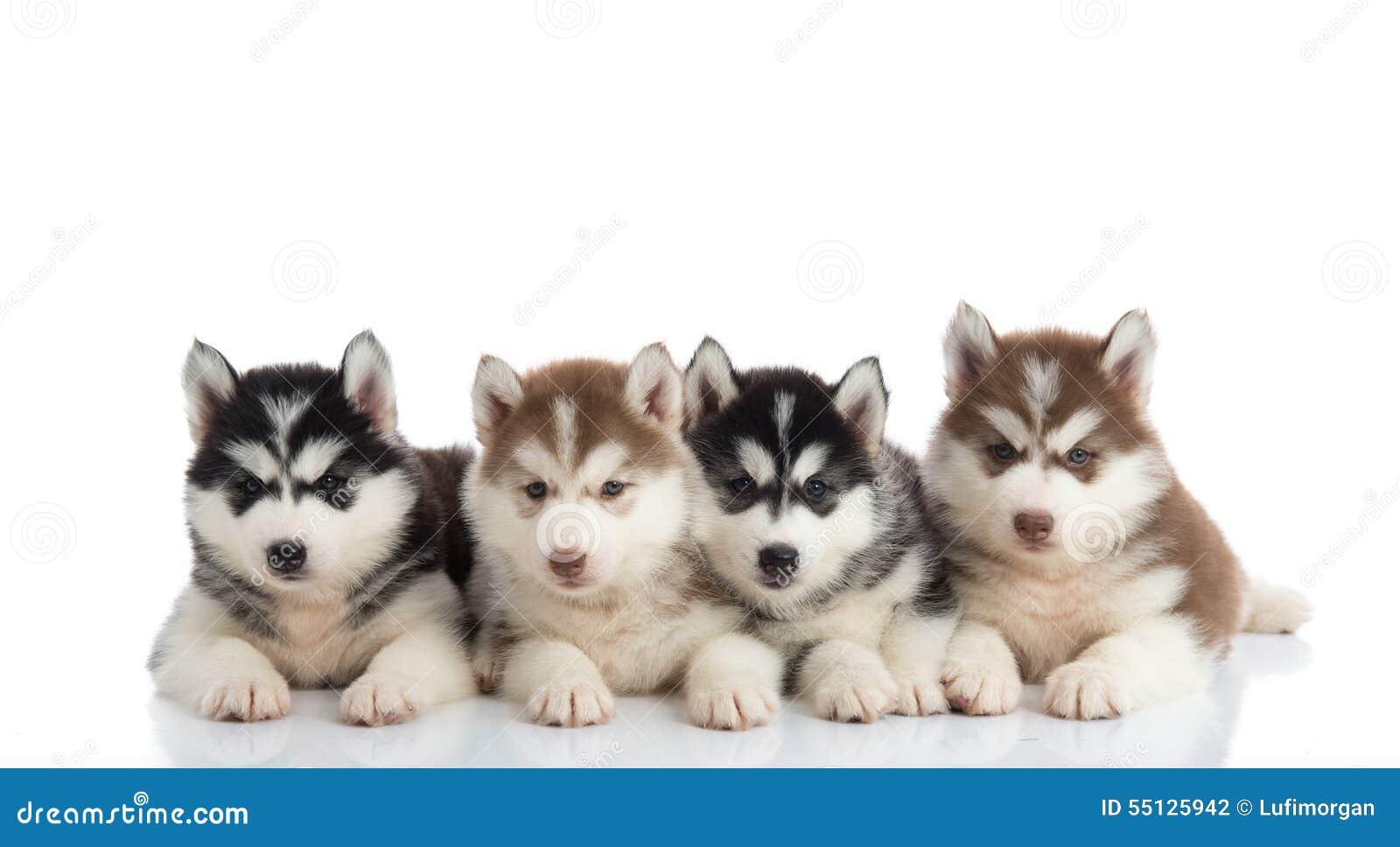 Group of Siberian husky puppies