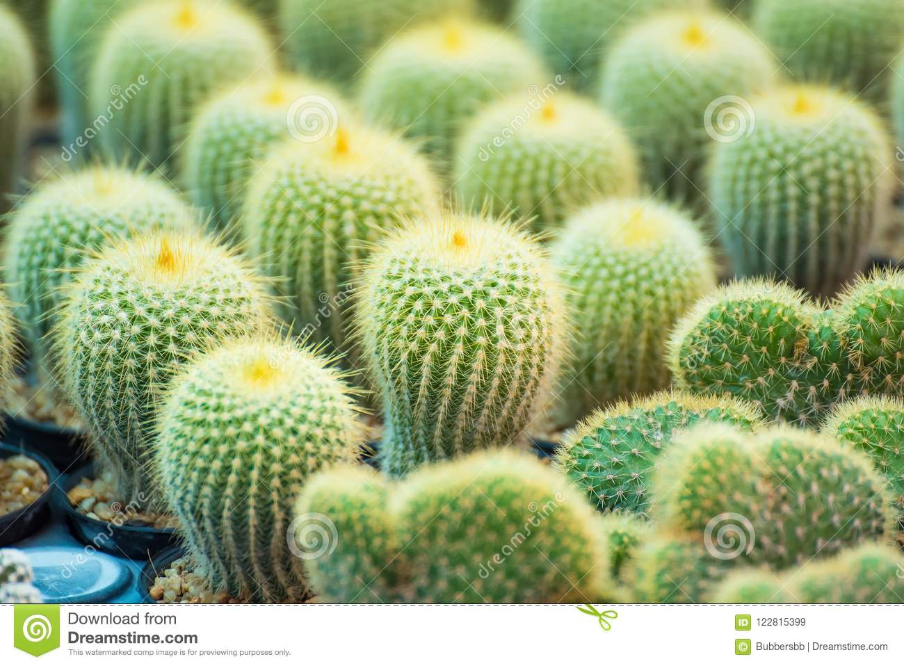 Download Group Of Small Cactus Plant In The Pot At Cactus Garden.Thailand  Stock Image