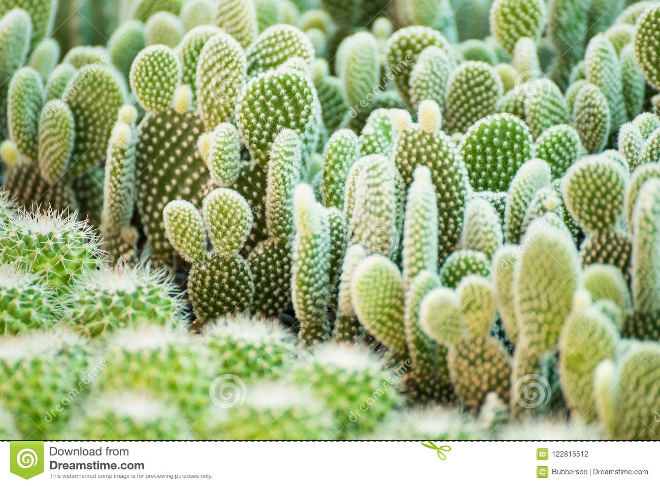 Download Group Of Small Cactus Plant In The Pot At Cactus Garden.Thailand  Stock Photo