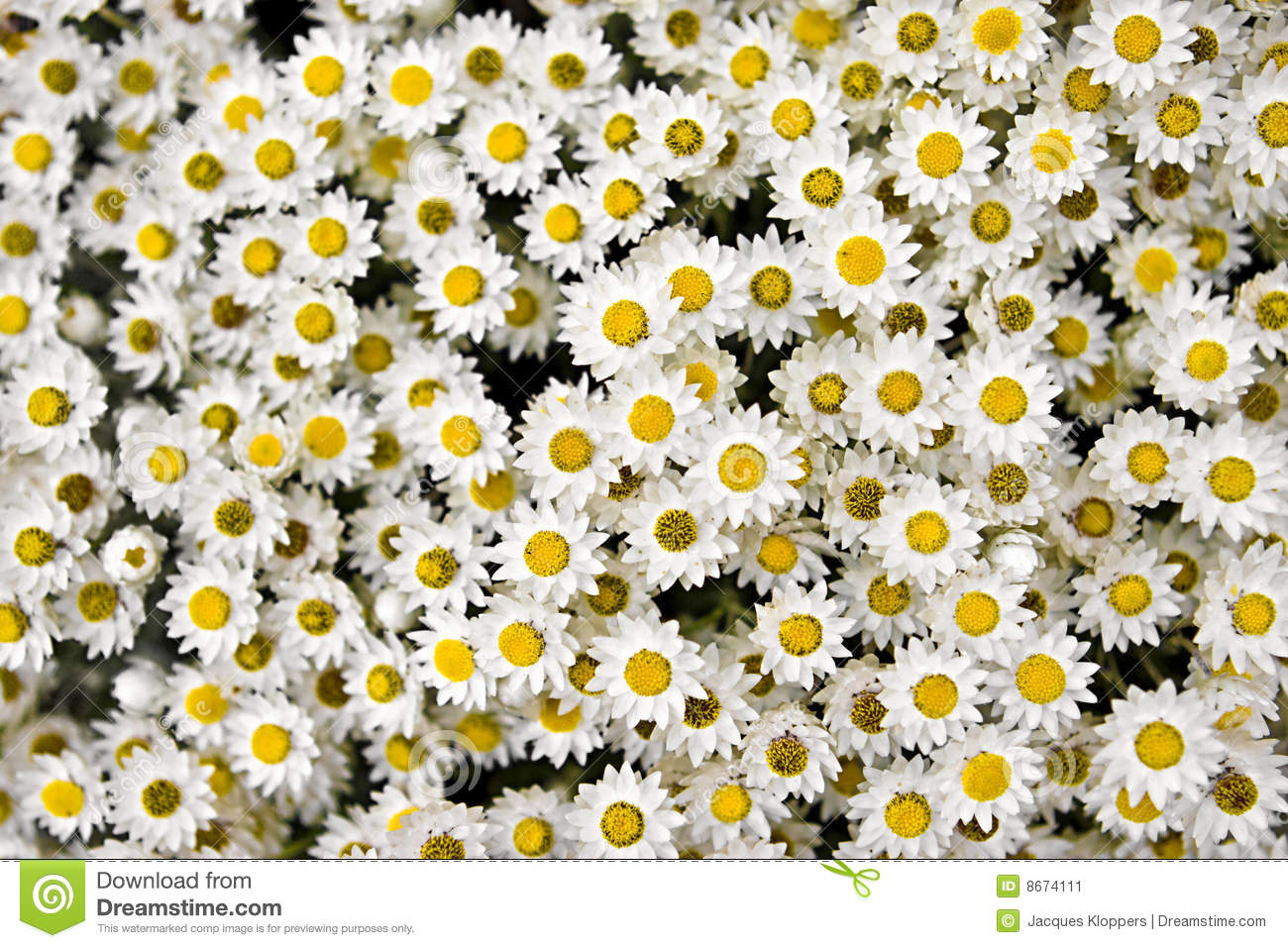 Tightly bunched group of small yellow and white flowers - landscape ...