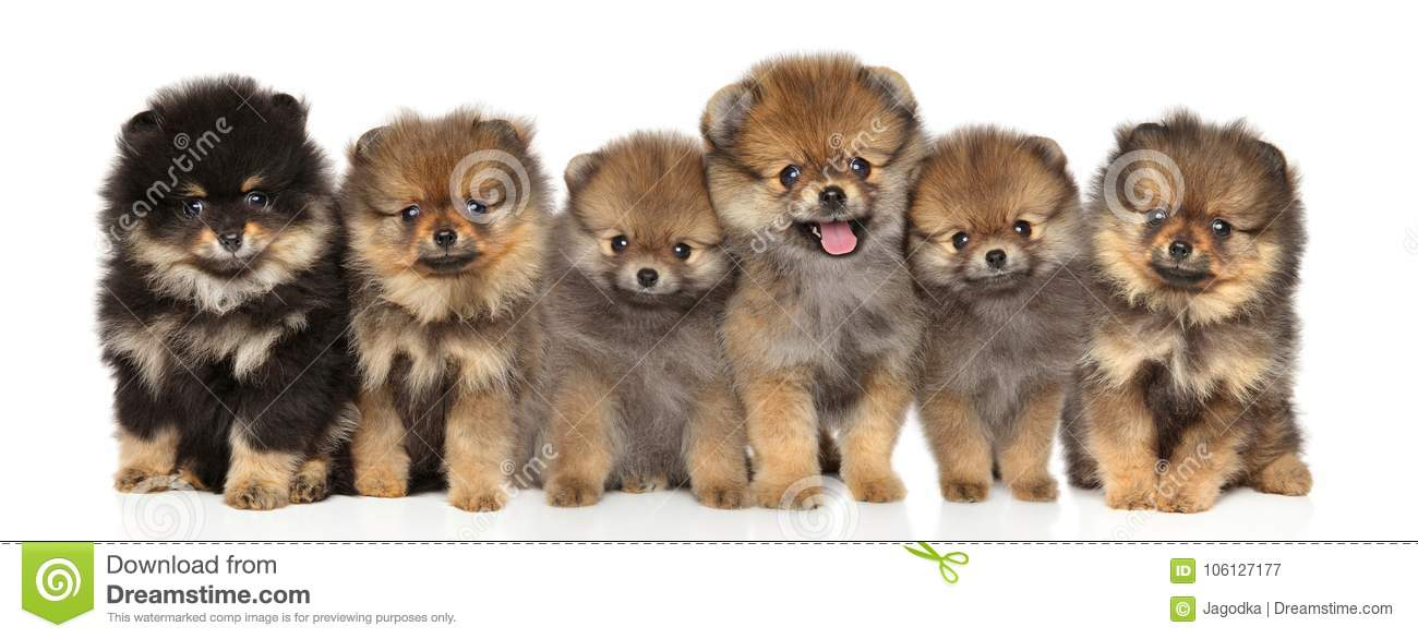 Group Spitz puppies posing on a white background