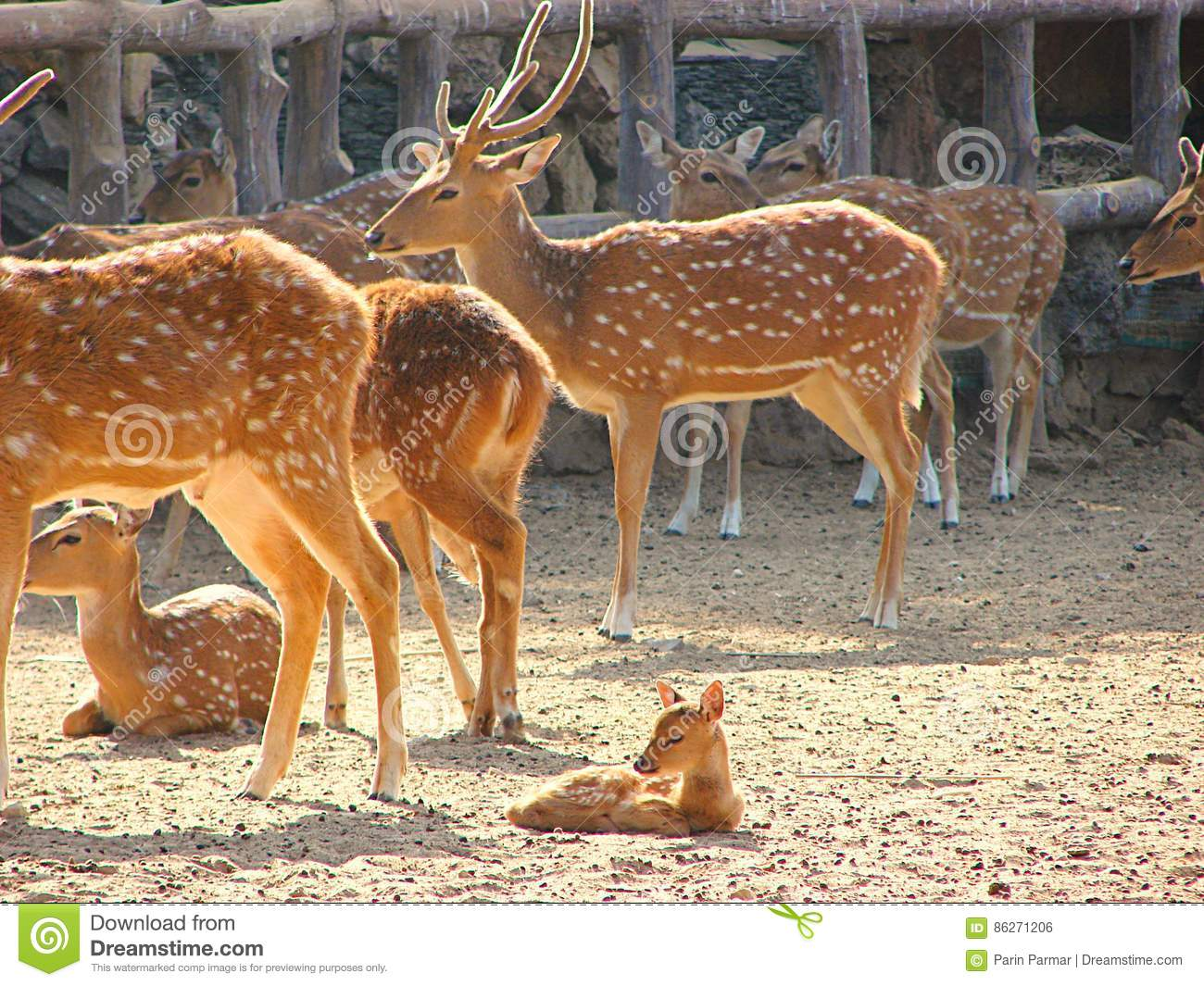 A Group of Spotted Deer Chital with a Fawn and Juveniles in Zoo, Jaipur, Rajasthan, India