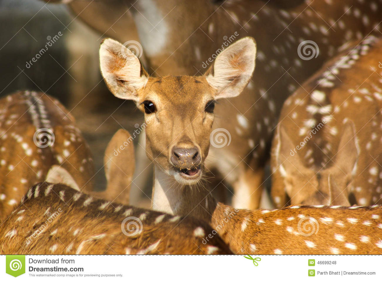 Group of Spotted indian deer