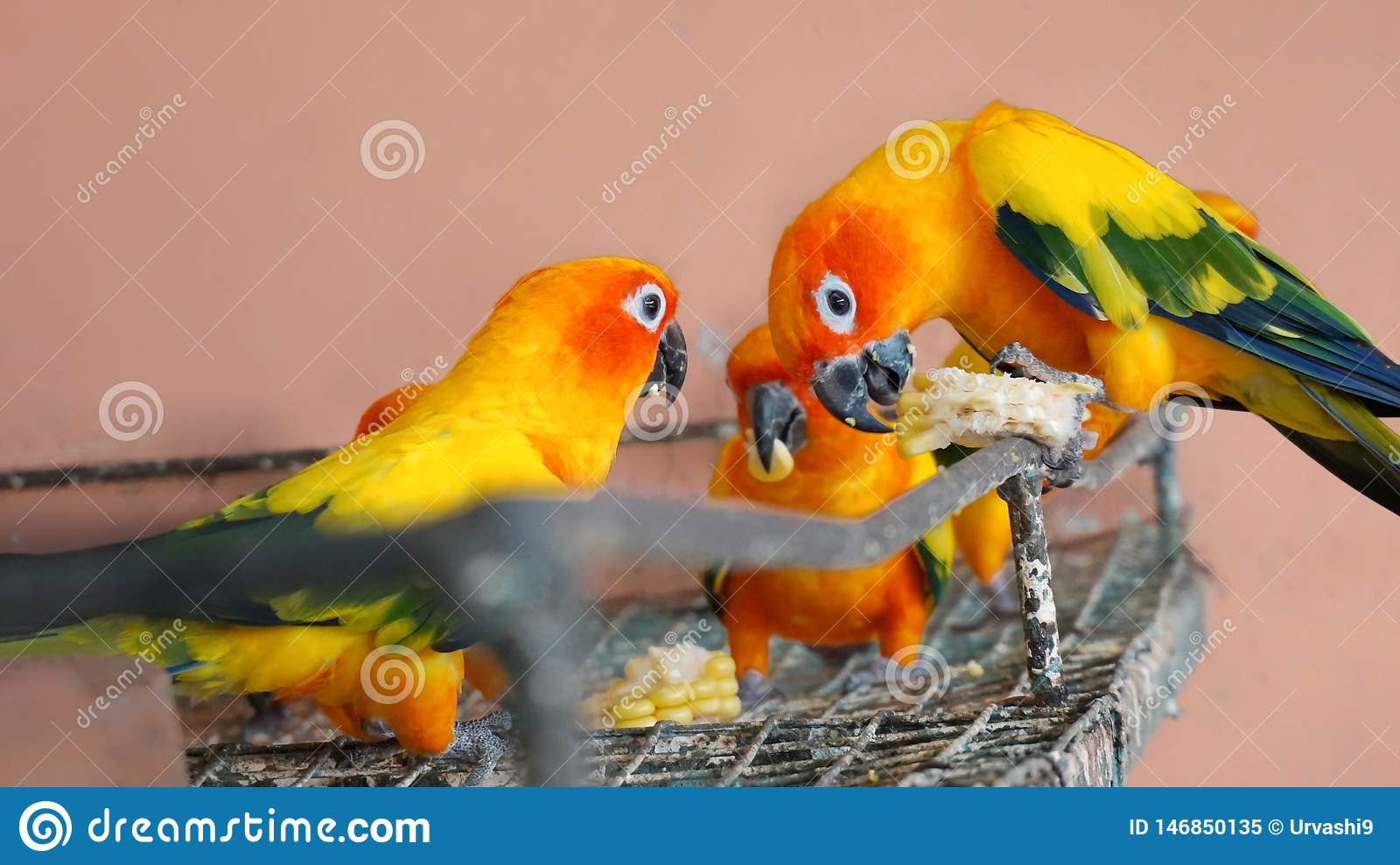 Group of sun conure parrot