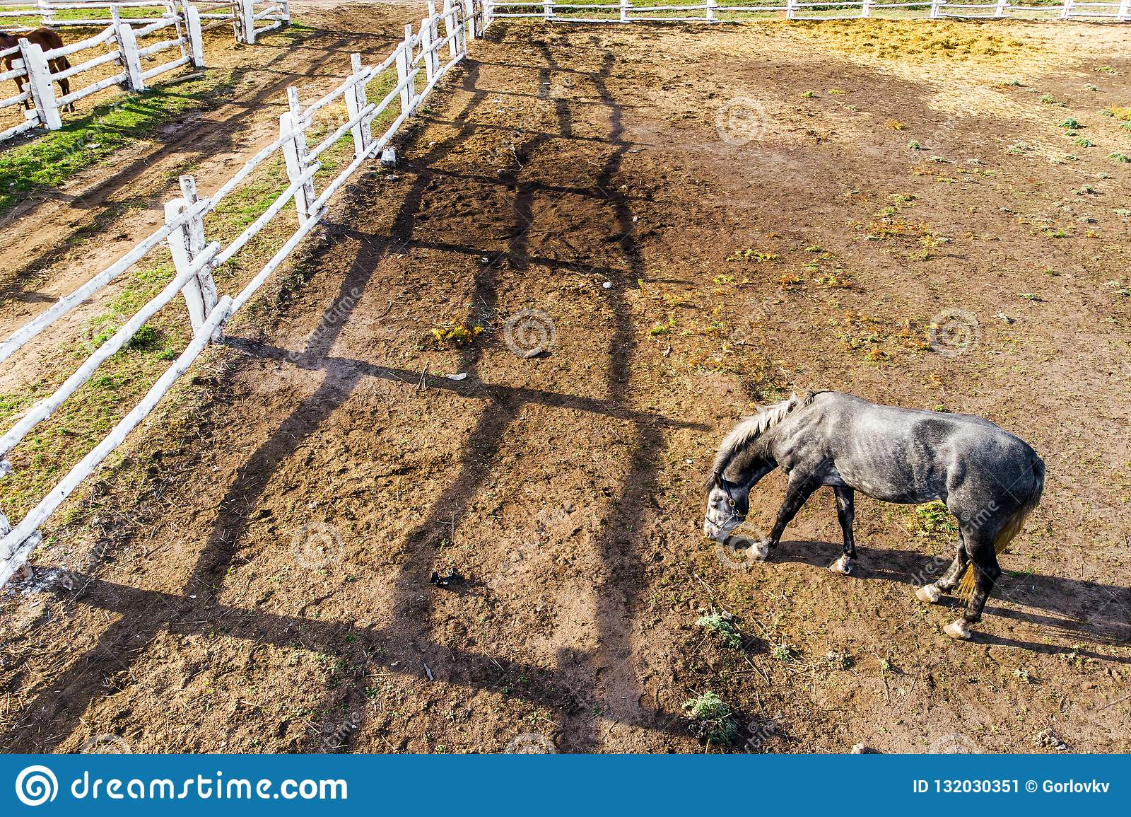Group Of Thoroughbred Horses Walking And Grazing In Paddock Near Stable Long Evening Afternoon Shadow Beautiful Animals At Farm Stock Image Image Of Grass Beautiful 132030351