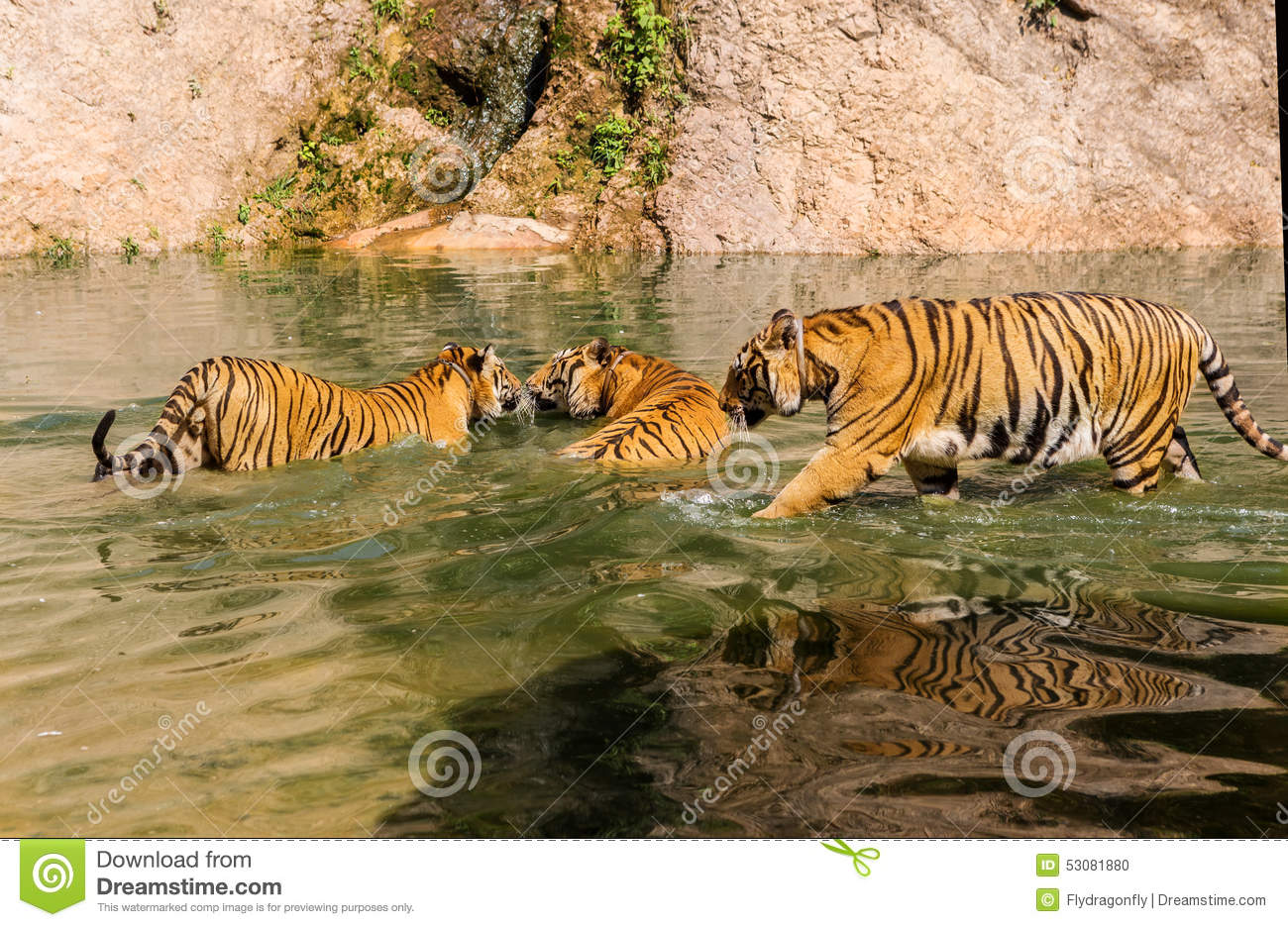 Group Of Tigers Play Fighting In The Water Stock Photo ...